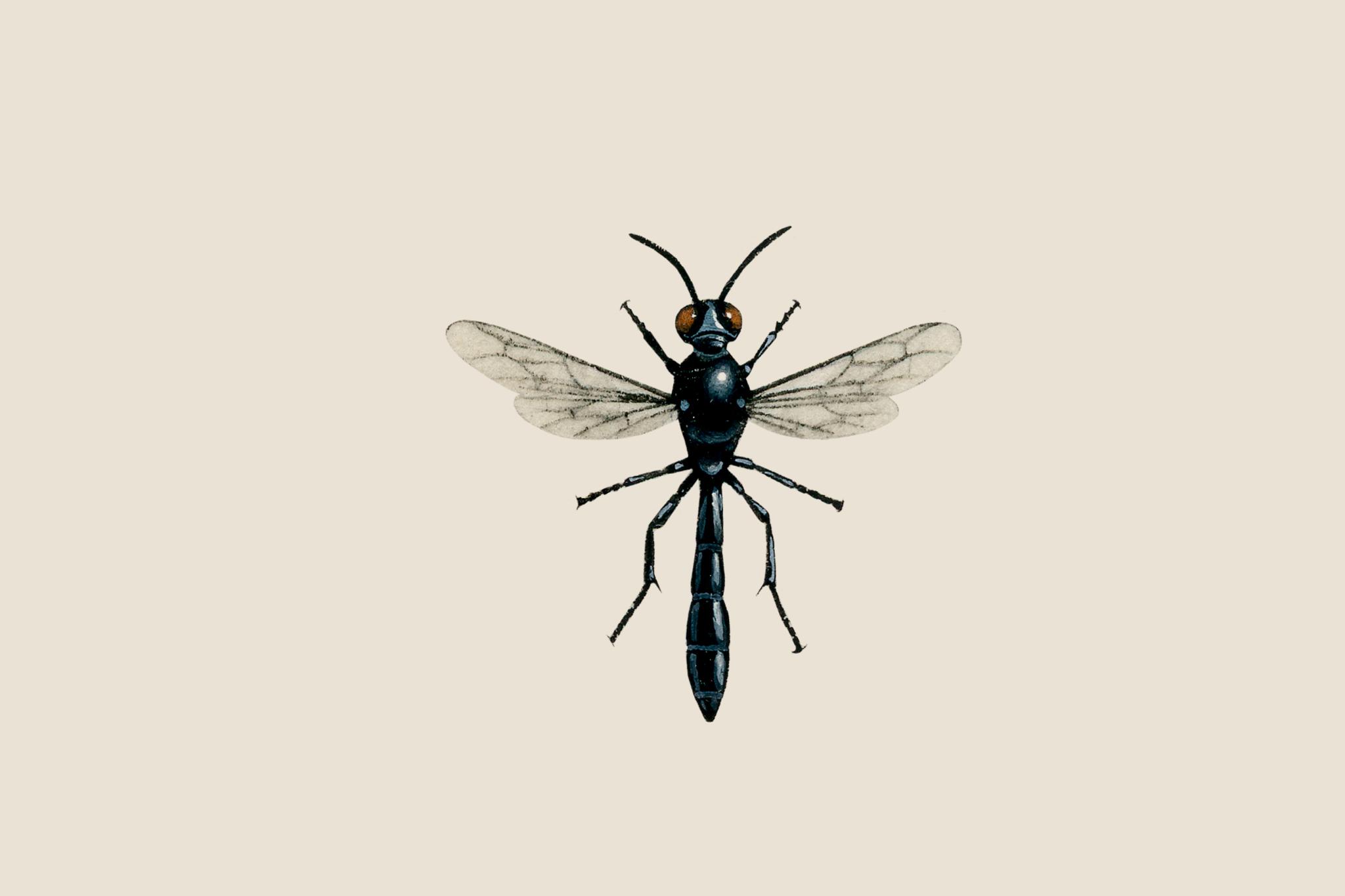 bramble-wasp-trypoxylon-figulus-2
