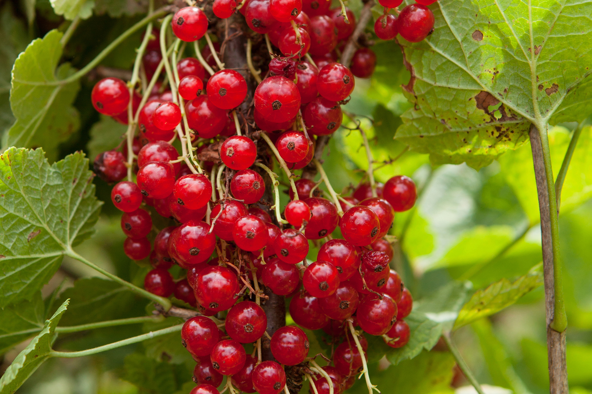 redcurrants-high-in-vitamin-c-2