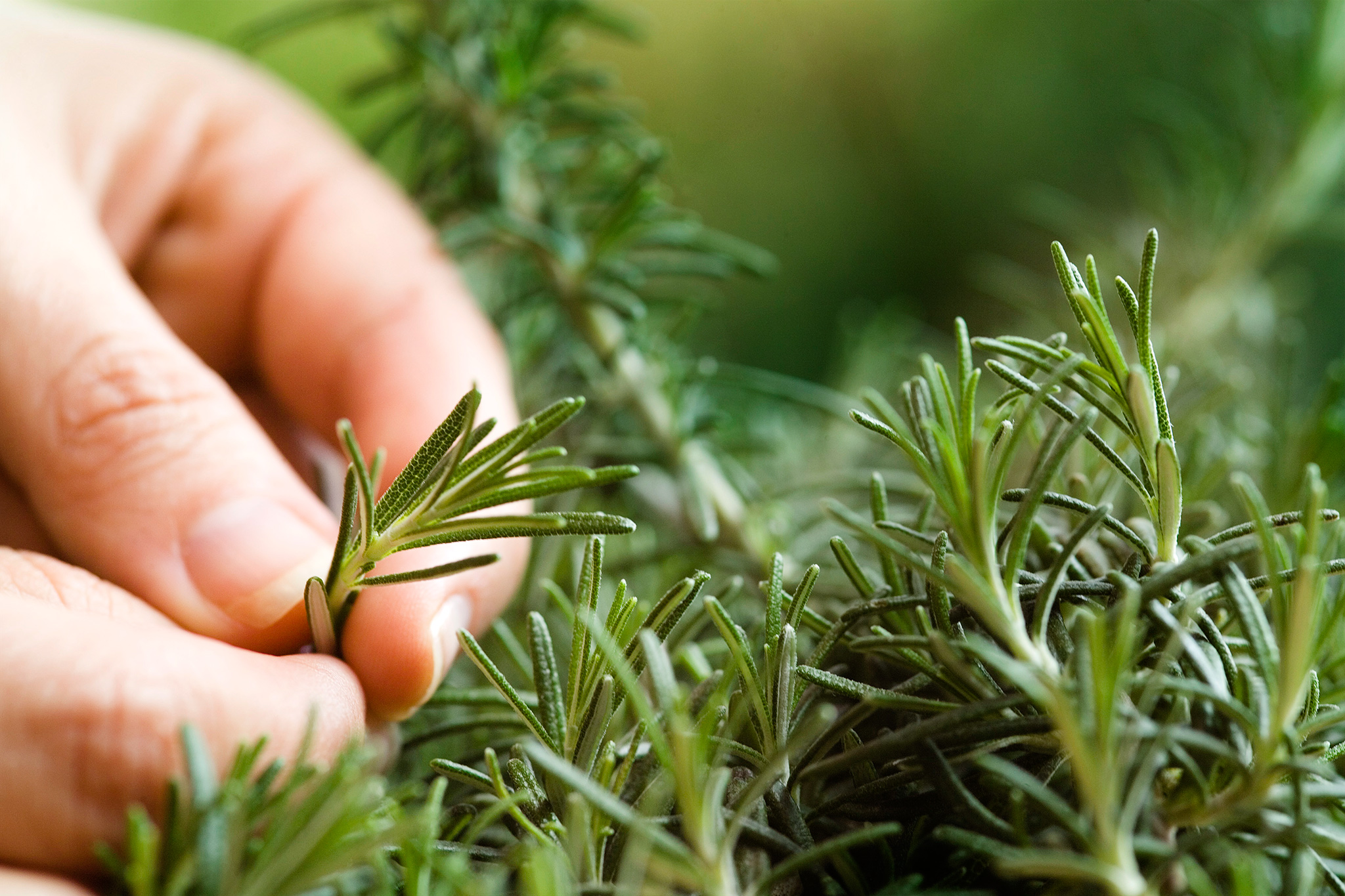 rosemary-shoot-tip-2