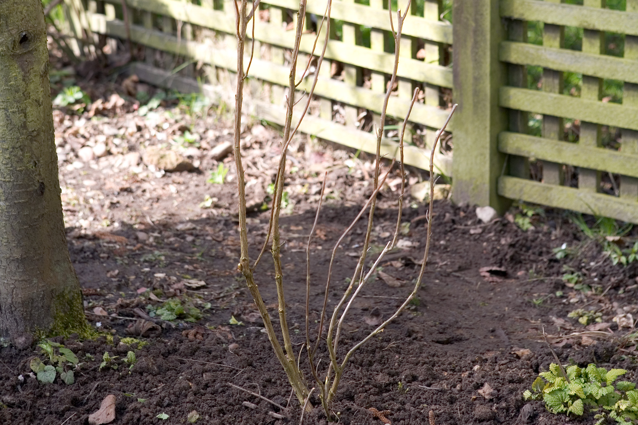 shrub-framework-after-pruning-2