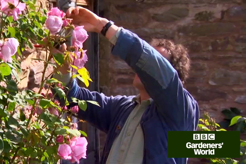 How to deadhead roses and prune species roses video