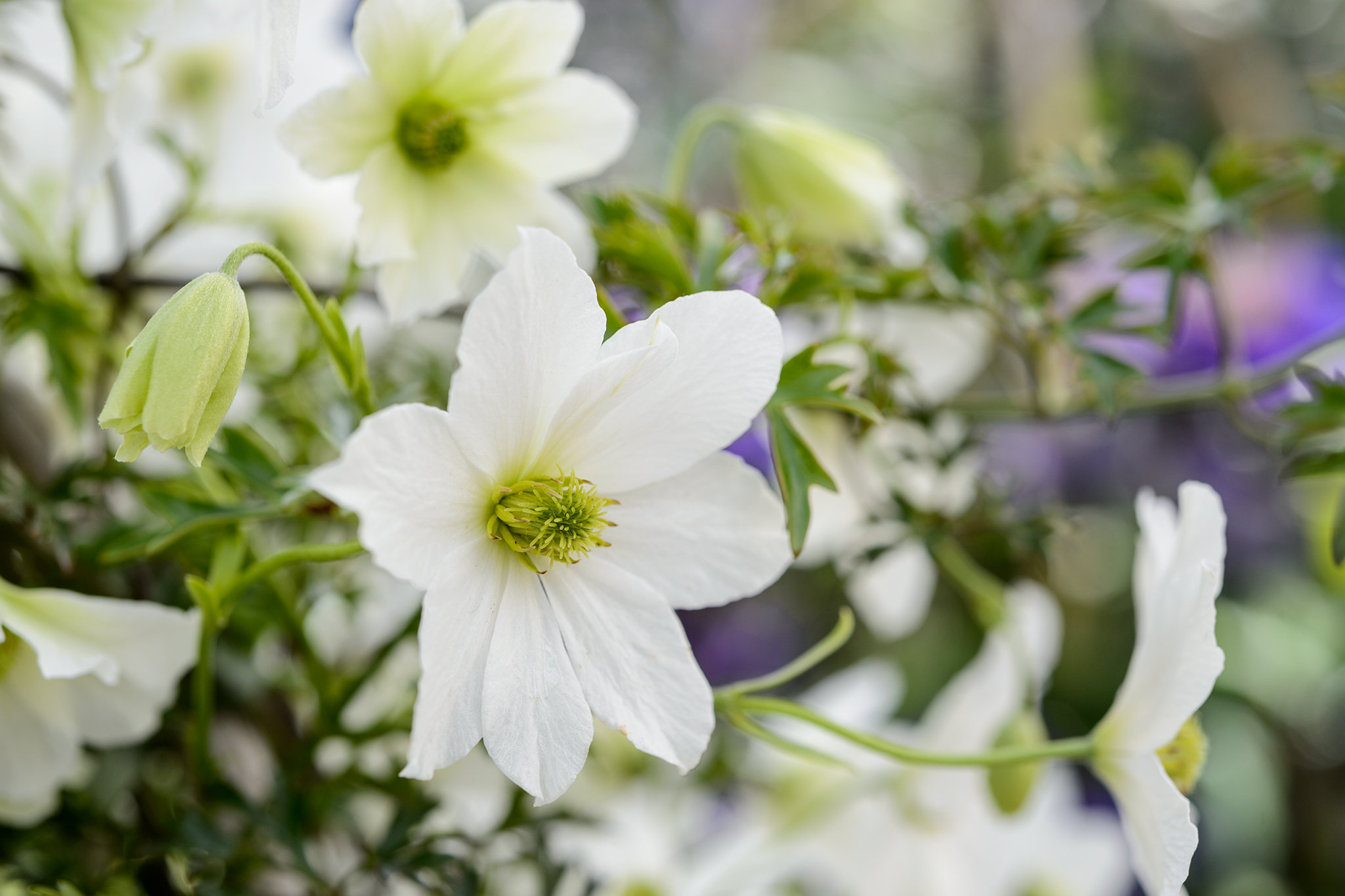 clematis-x-cartmanii-early-sensation-2
