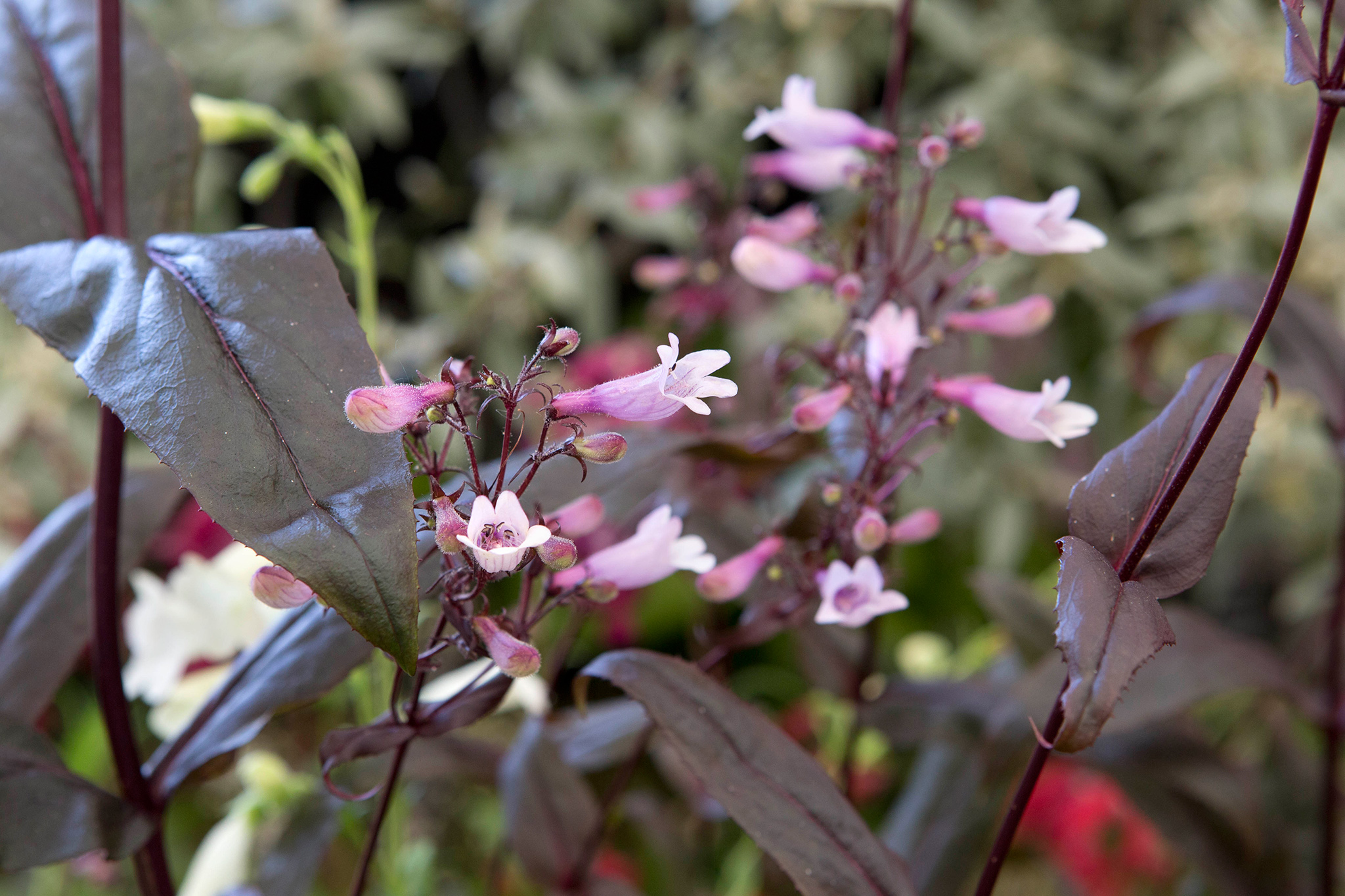 penstemon-dark-towers-4