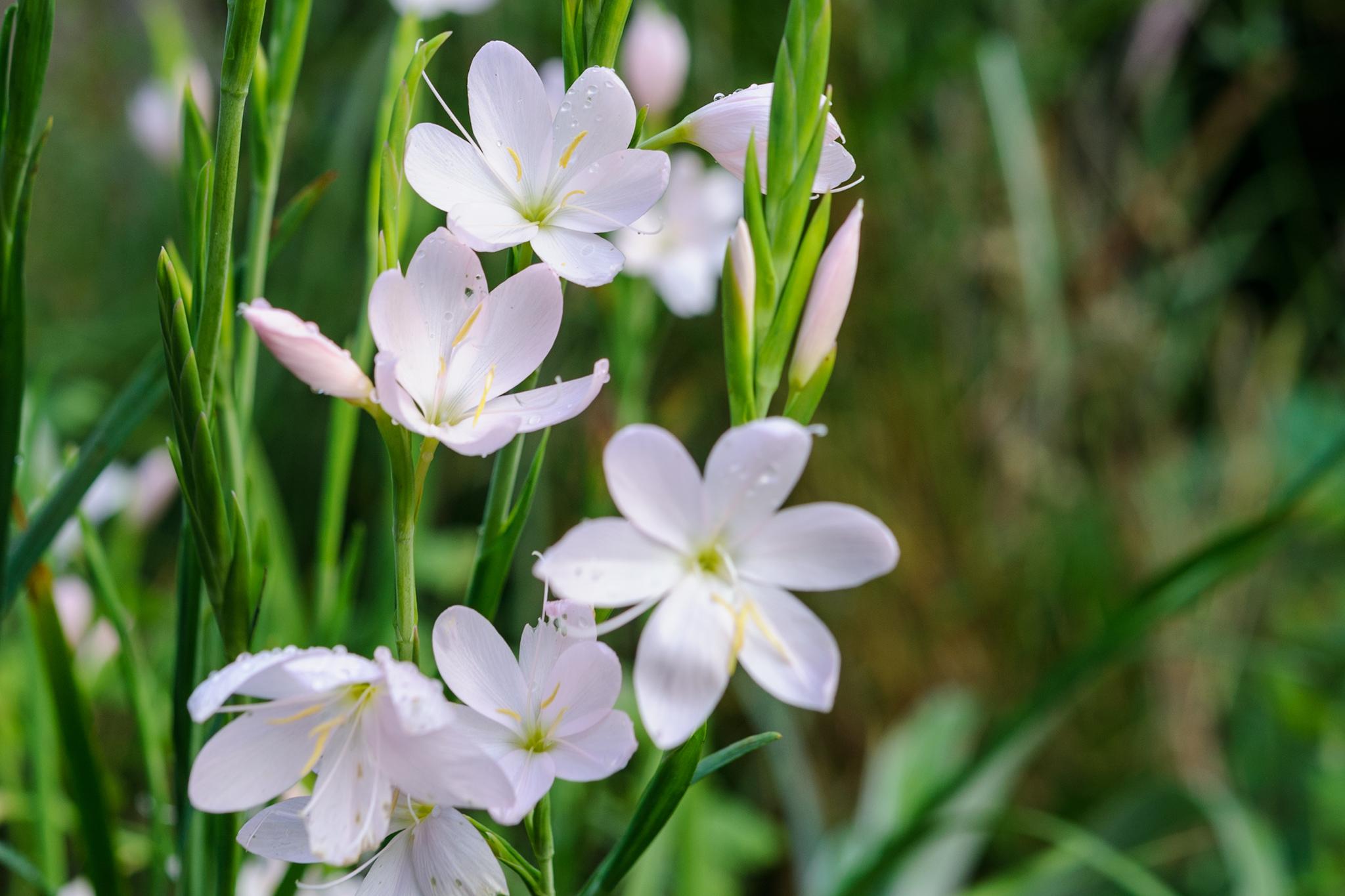 hesperantha-3