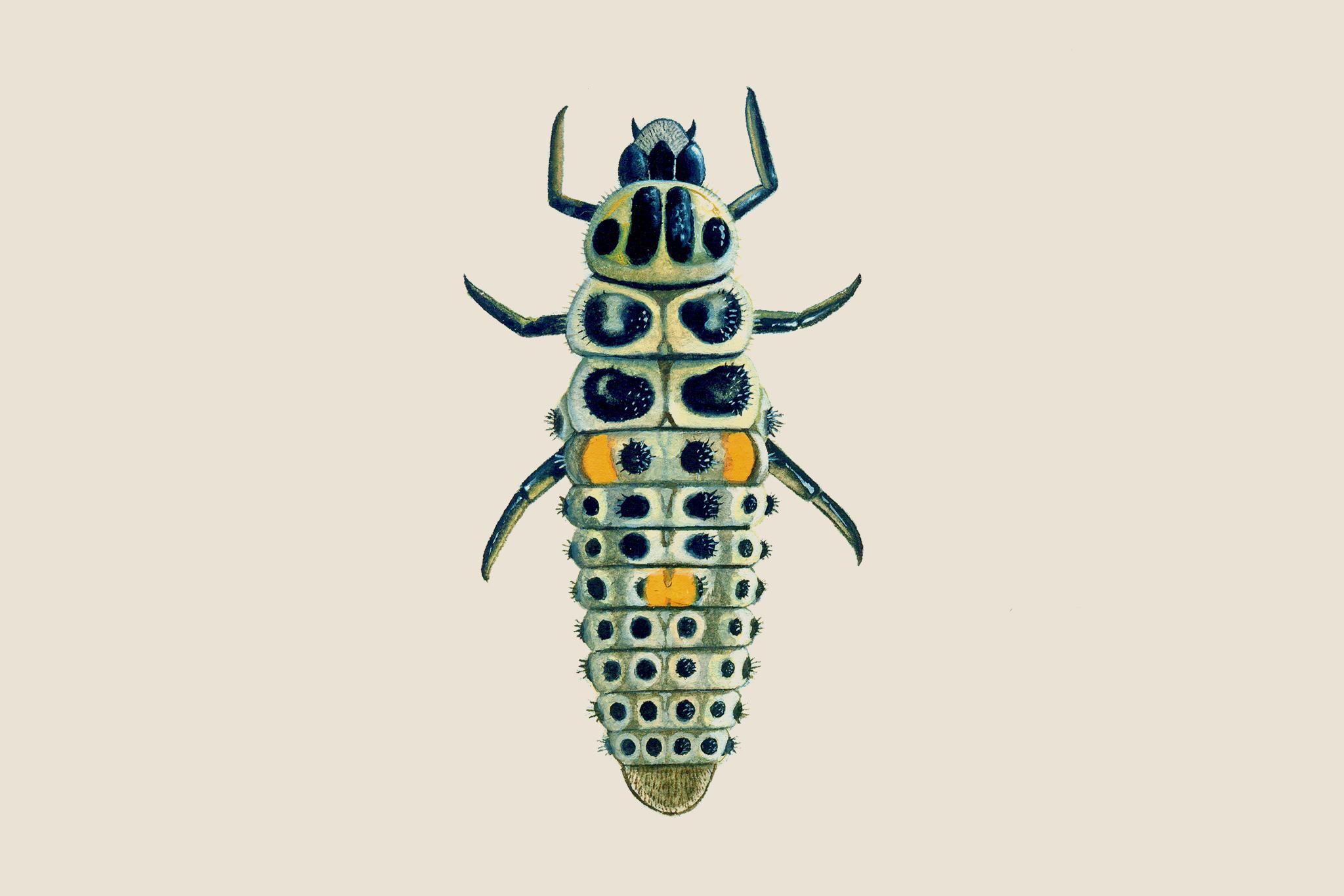 ten-spot-ladybird-larvae-6