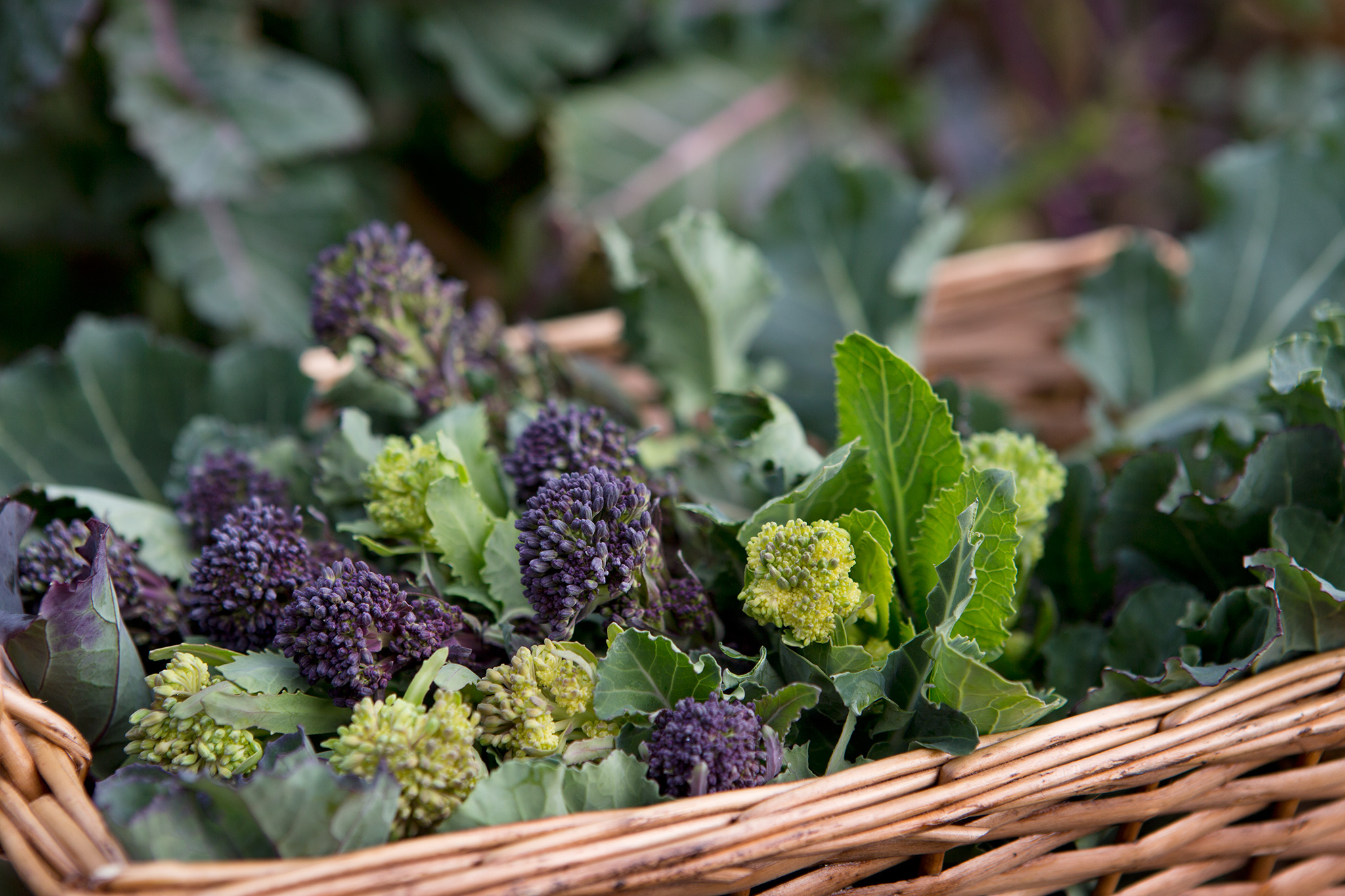 Broccoli – Grow Guide