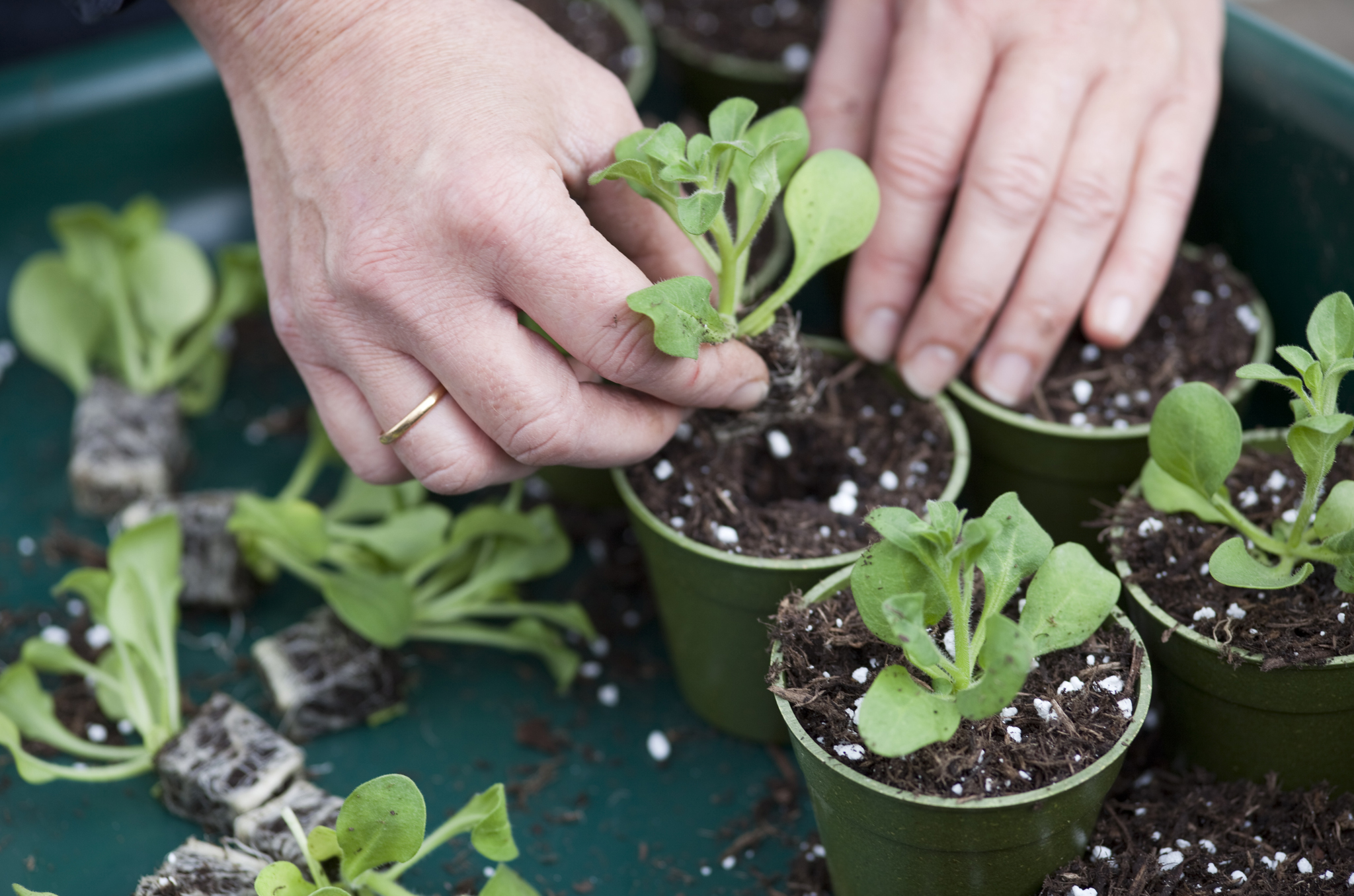 growing-on-plug-plants-place-the-plug-in-the-hole
