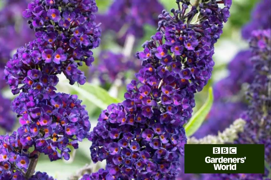 How to plant shrubs in borders video