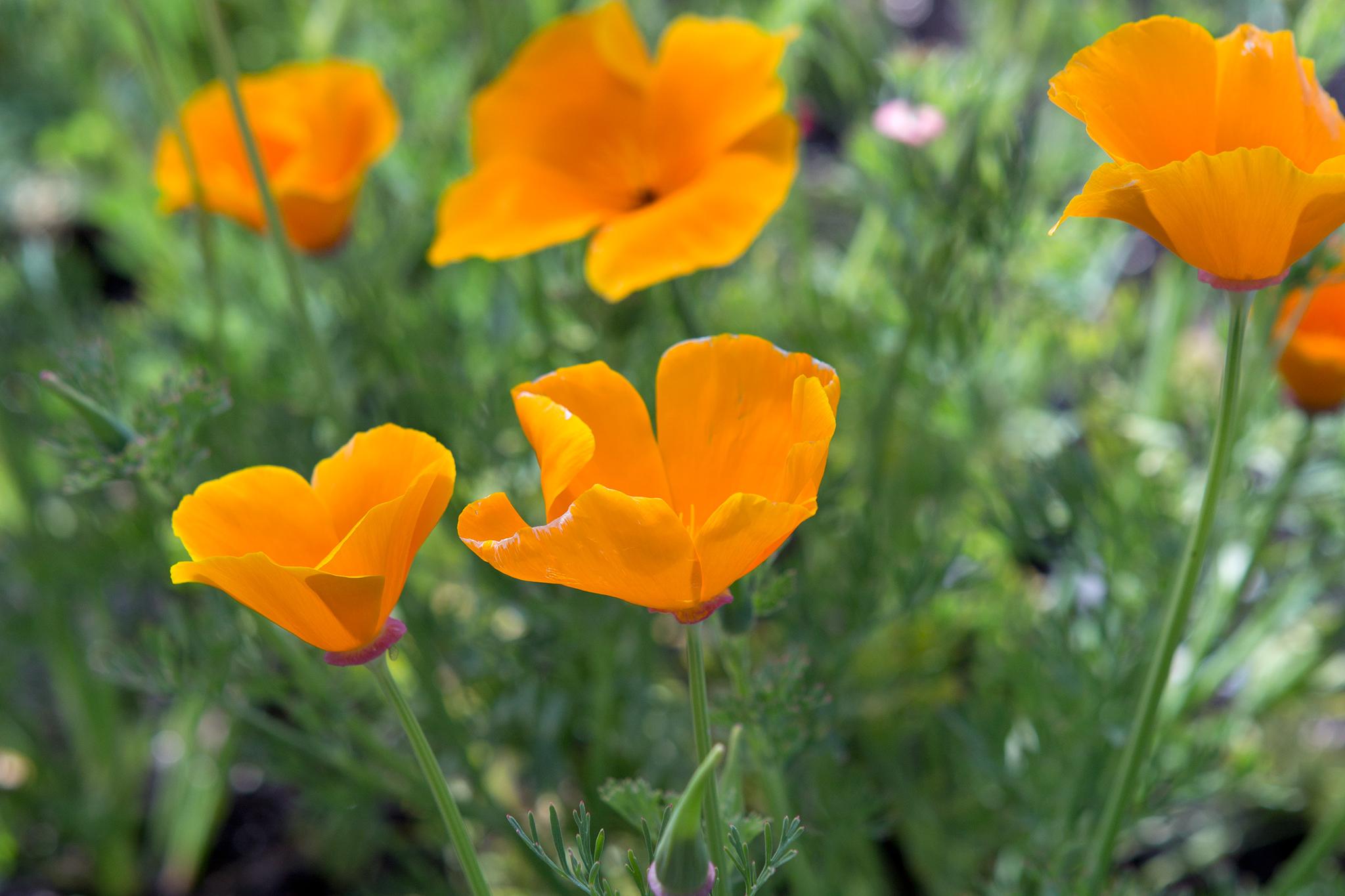 california-poppies-3