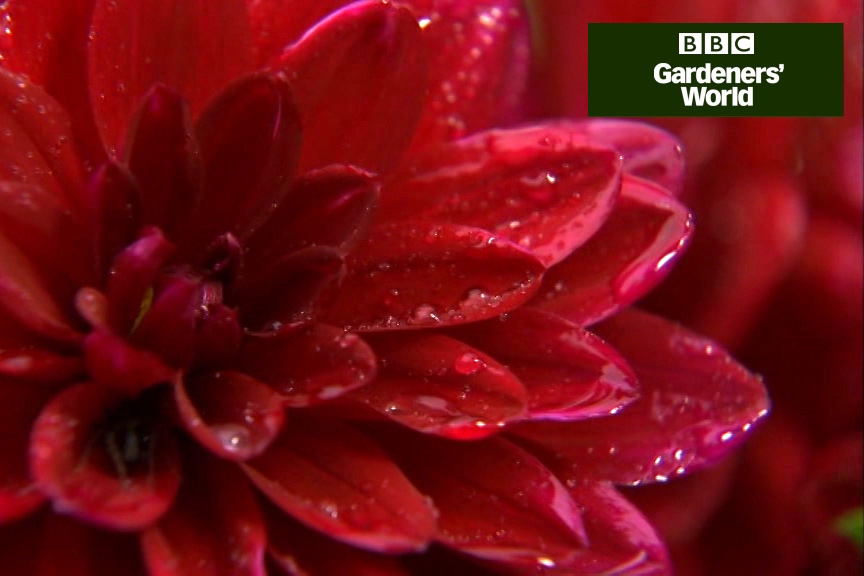 How to make a dahlia container display video