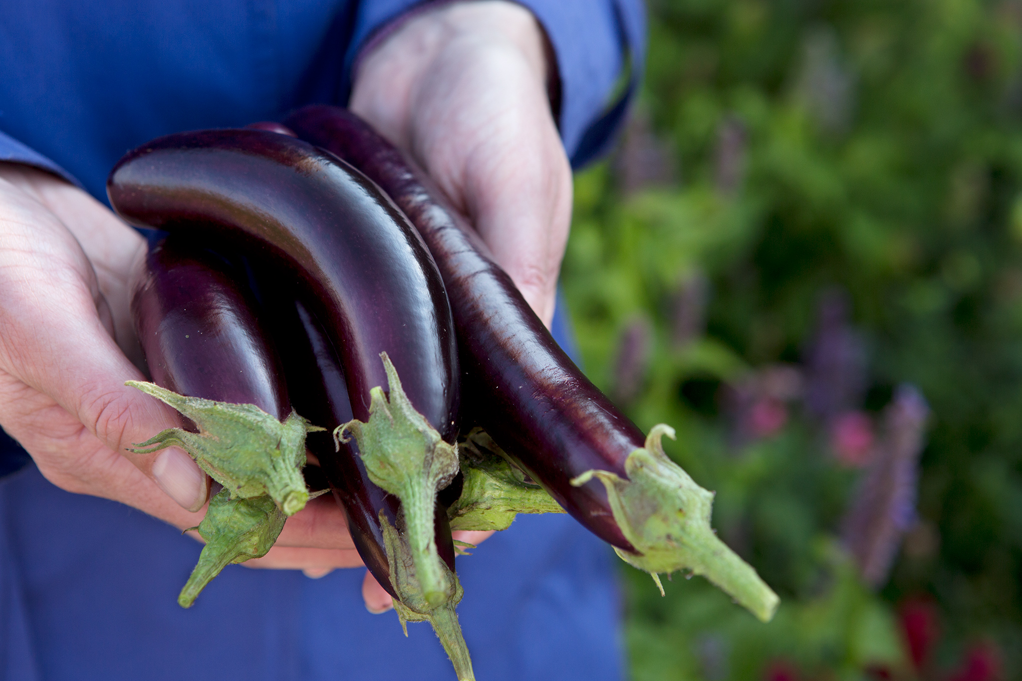 Picked aubergines