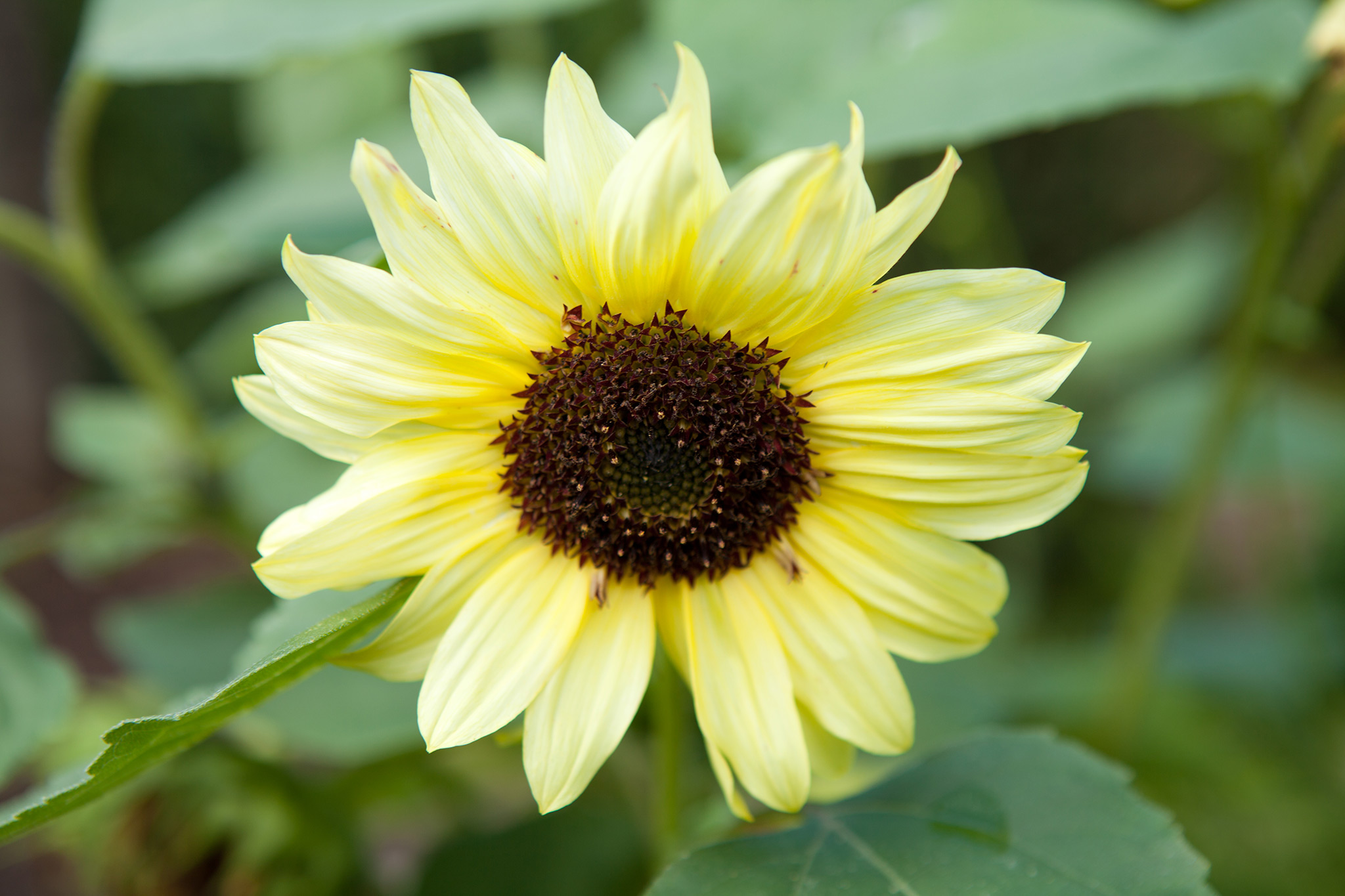 helianthus-yellow-queen-2