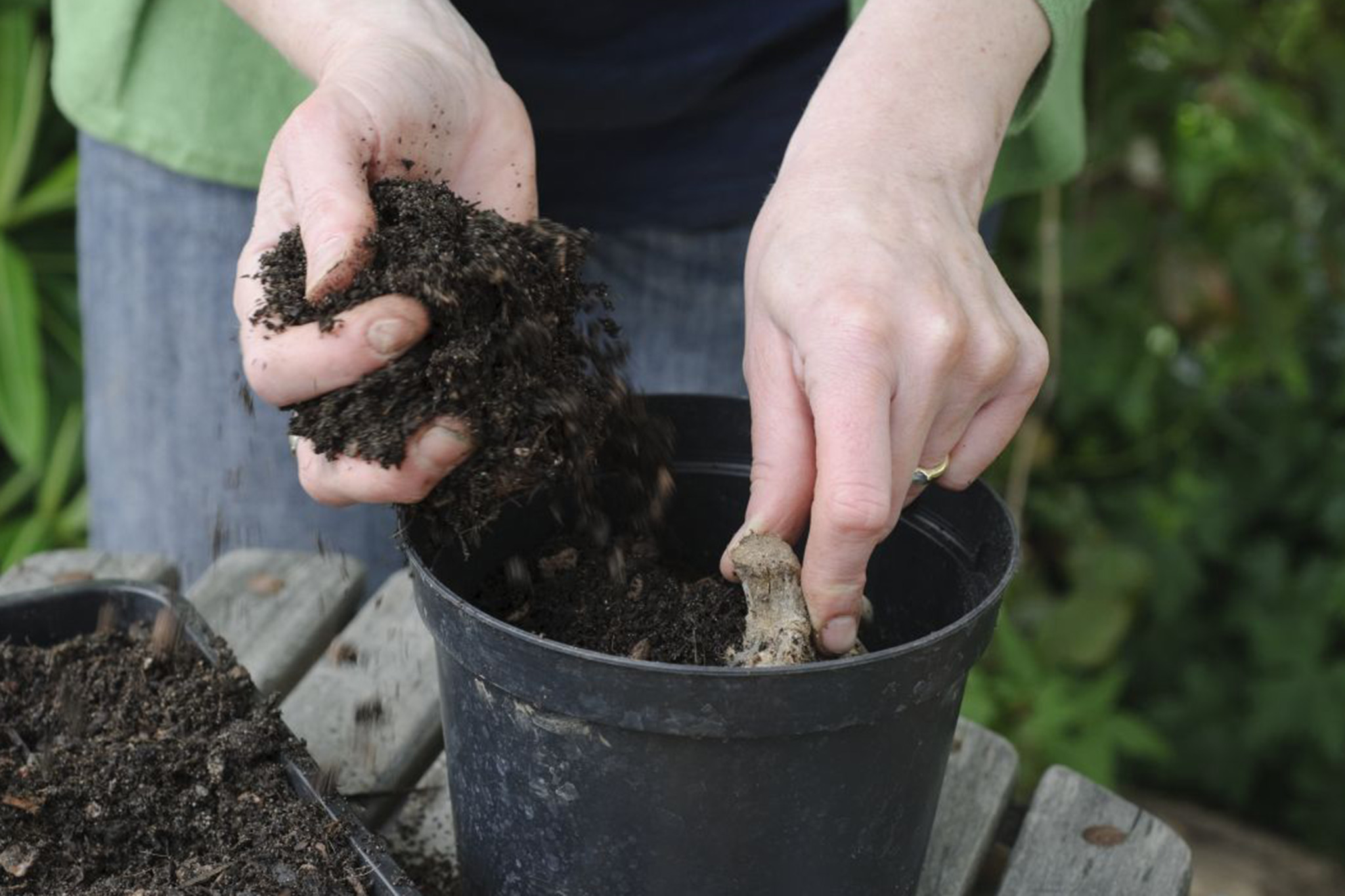planting-dahlia-tuber-in-a-pot-3