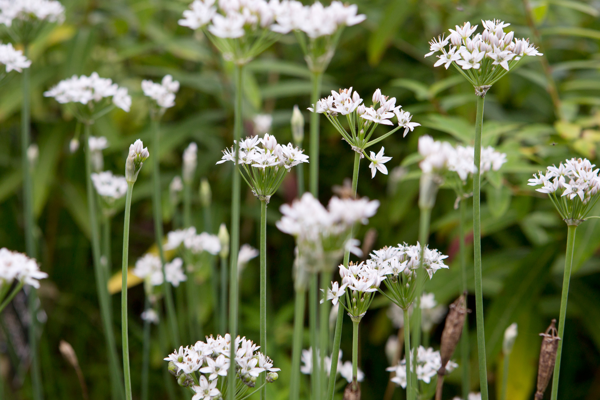 allium-tuberosum-at-the-savill-garden-2
