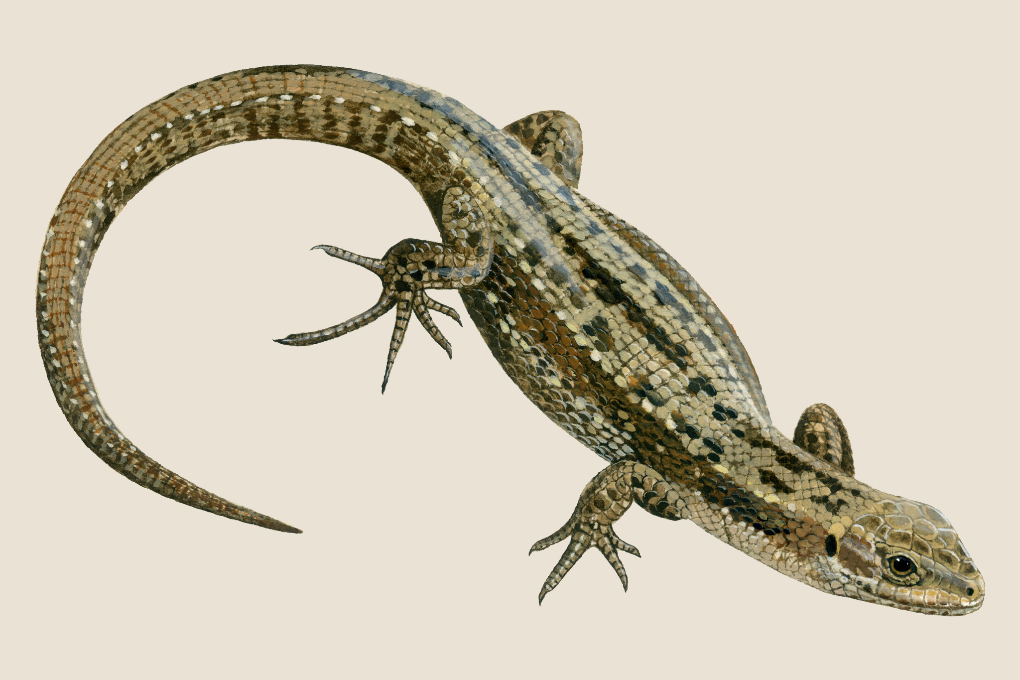 common-lizard-3