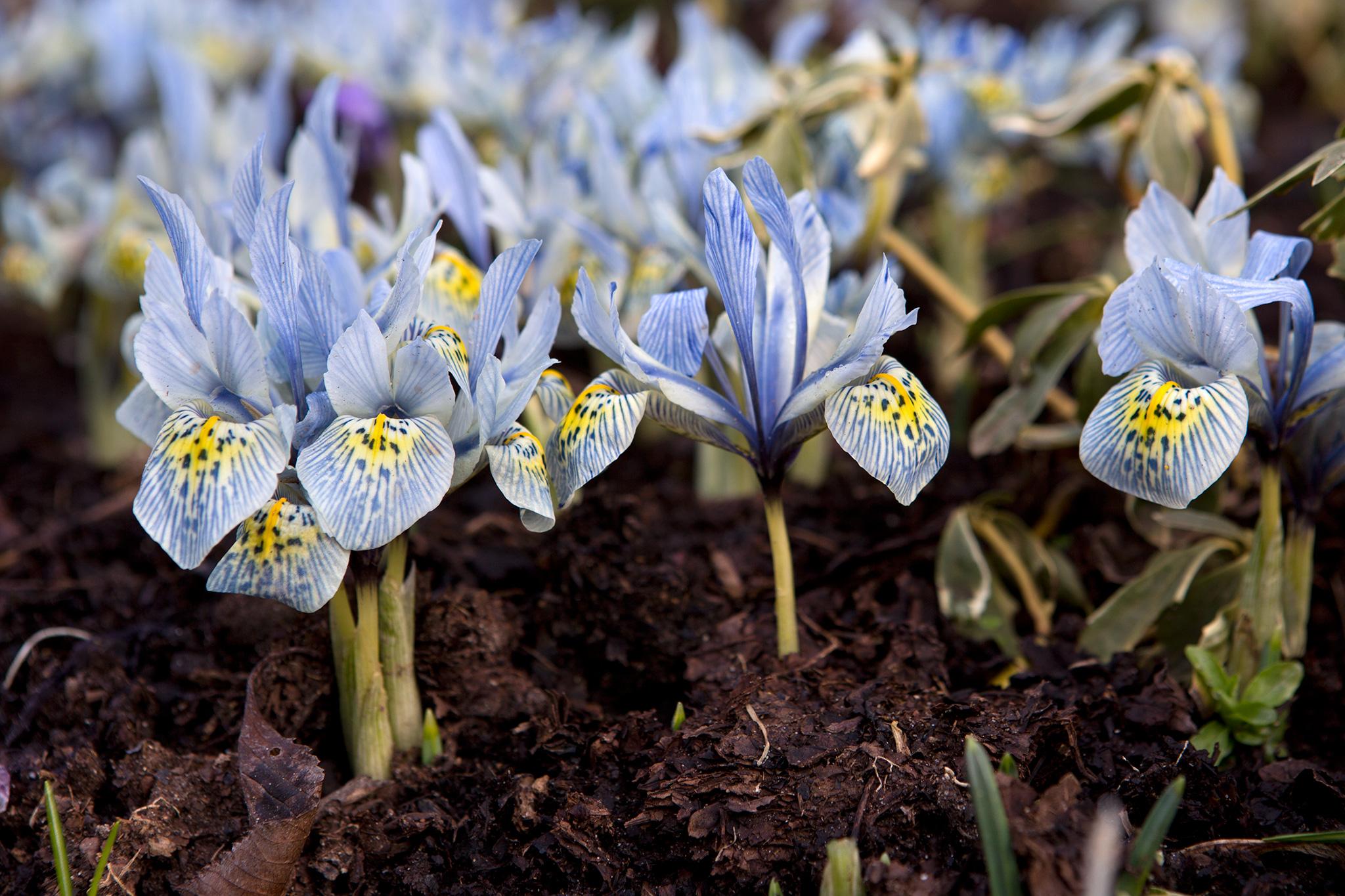iris-reticulata-katharine-hodgkin-6
