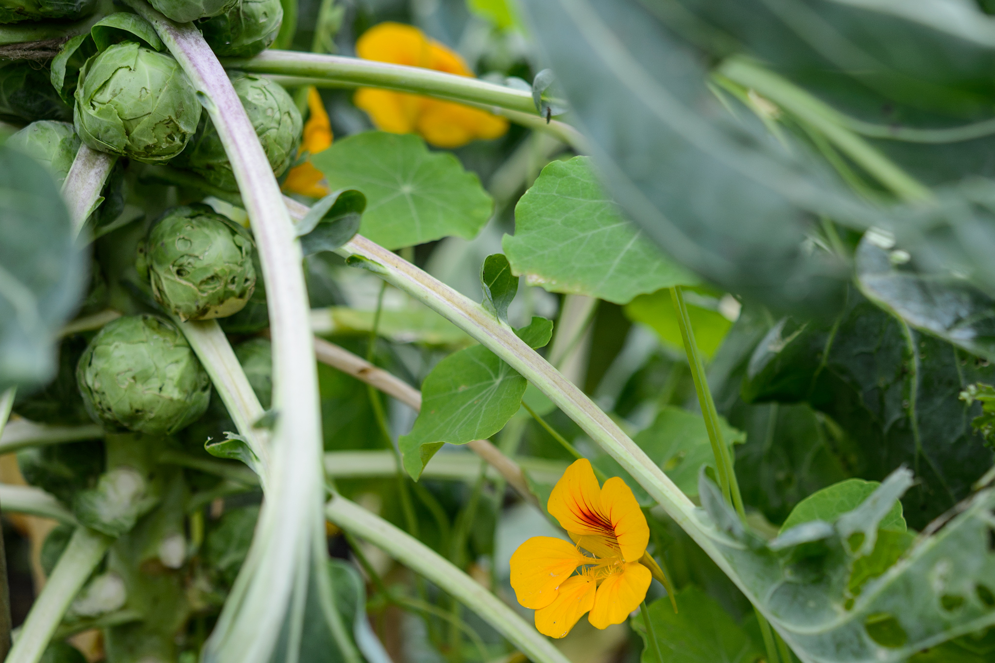 brussels-sprouts-and-nasturtiums-2