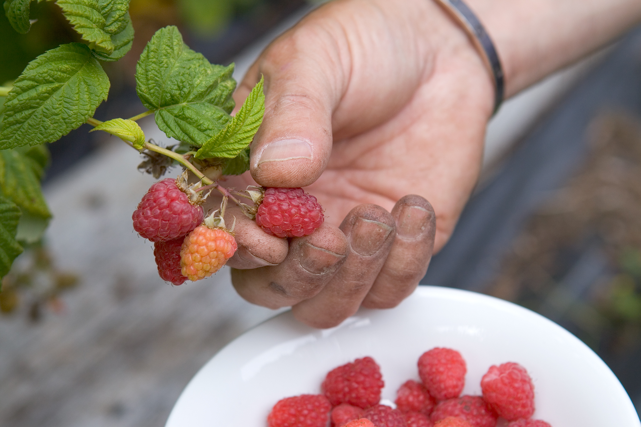picking-raspberries-4