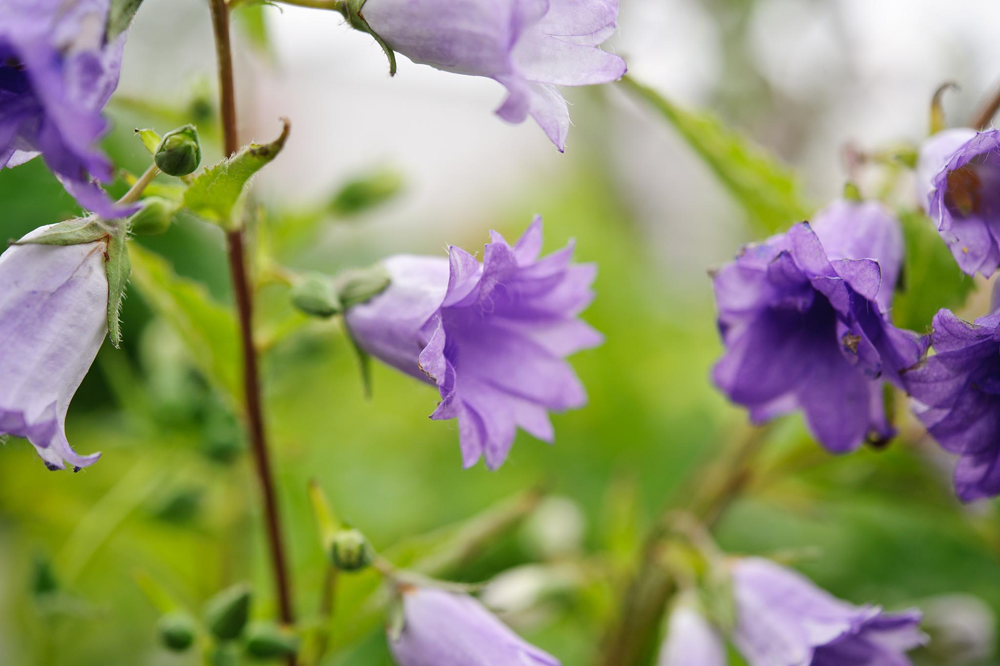 nettle-leaved-bellflower-campanula-trachelium-2