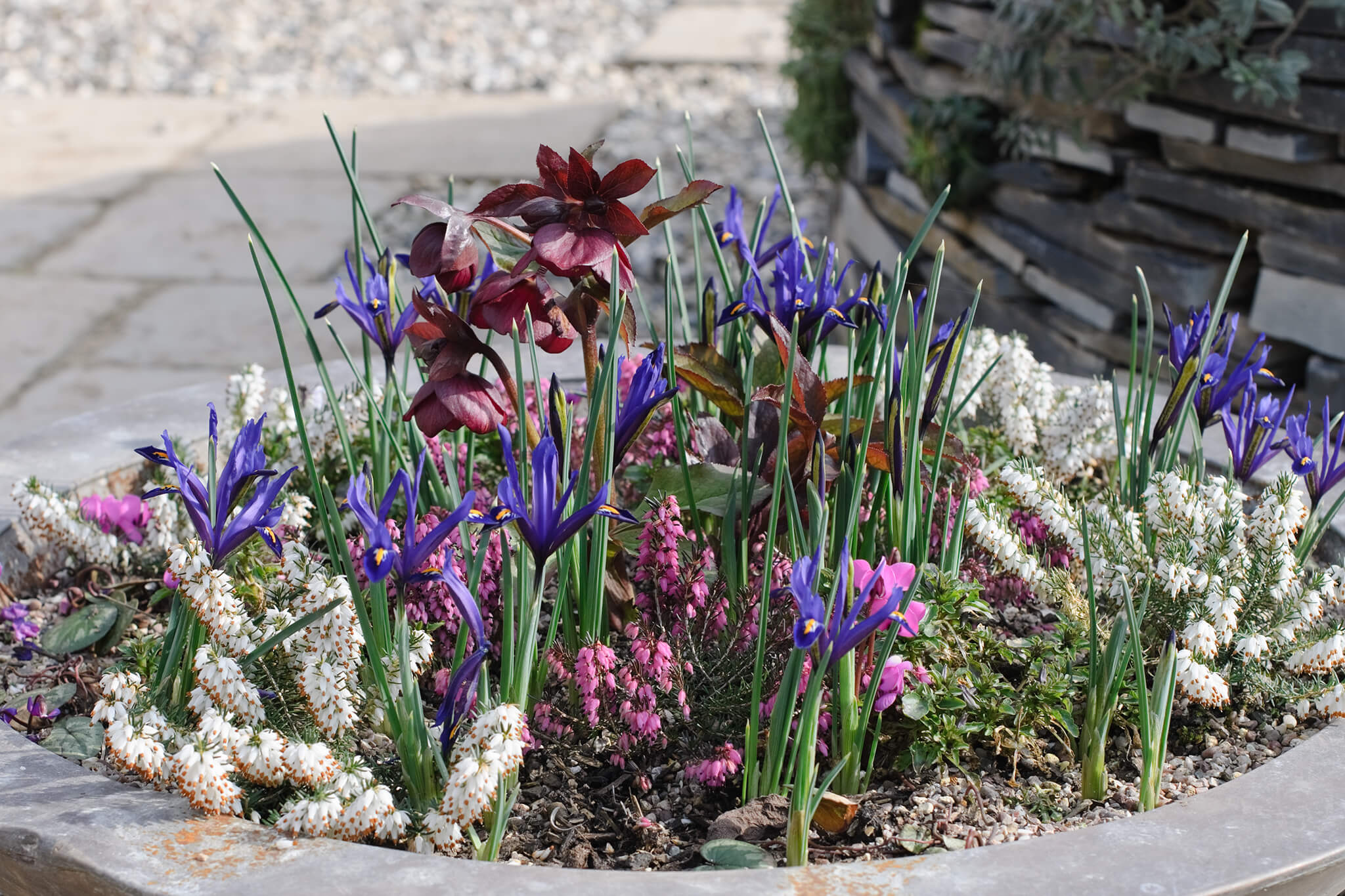 winter-heather-and-reticulate-irises-2