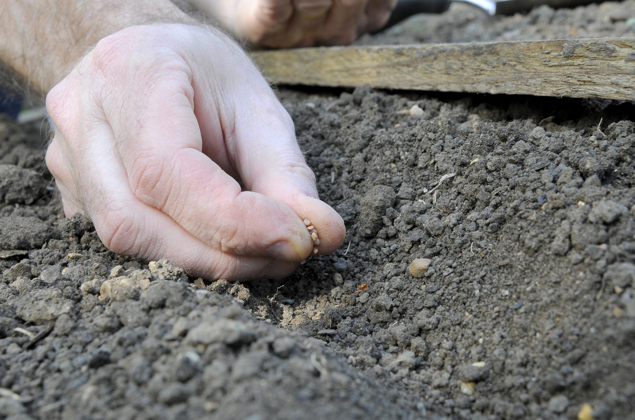 sowing-radish-seed-2