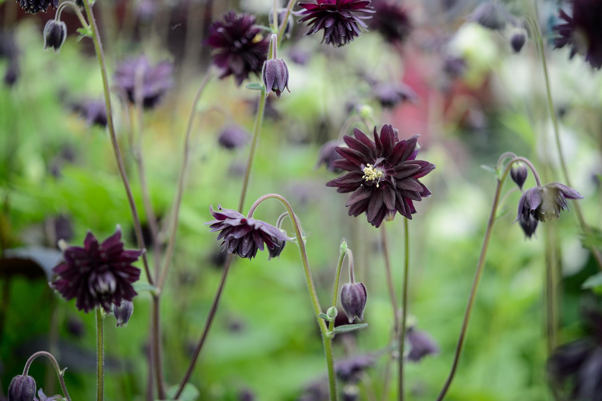 aquilegia-vulgaris-6