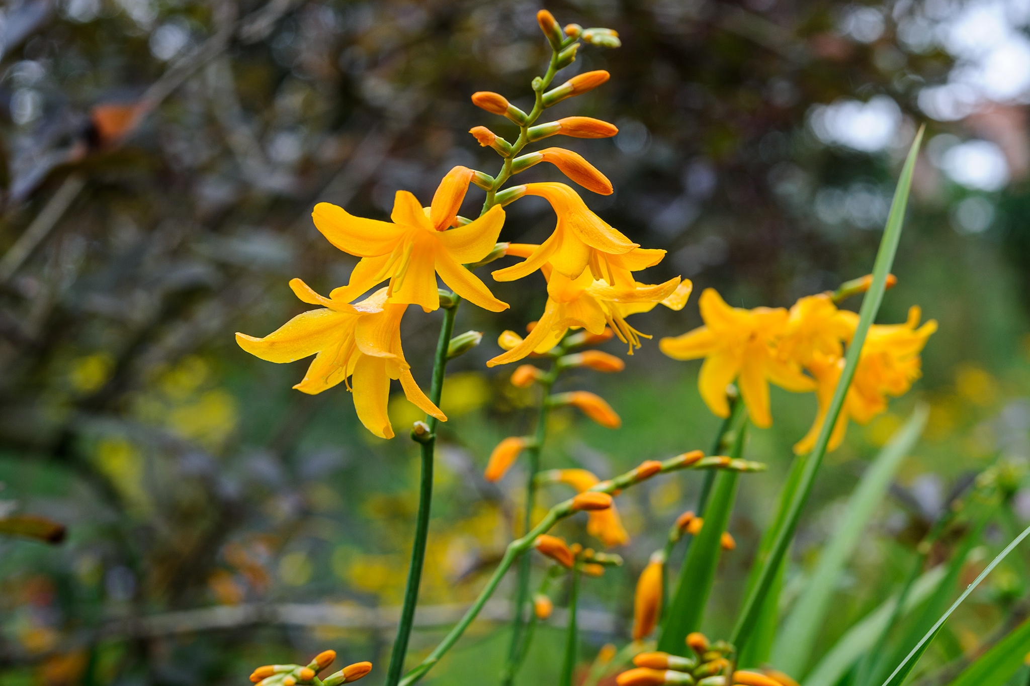 crocosmia-buttercup-2