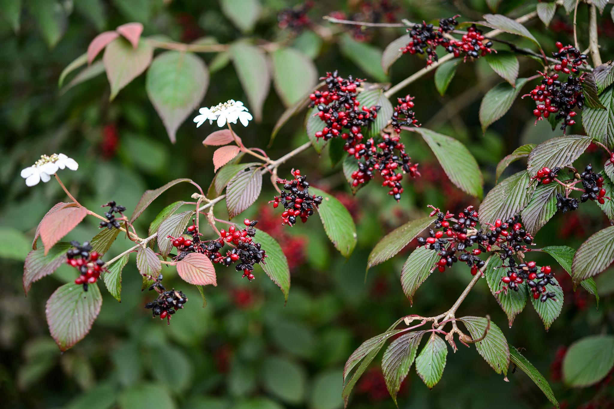 viburnum-plicatum-f-tomentosum-darts-red-robin-3