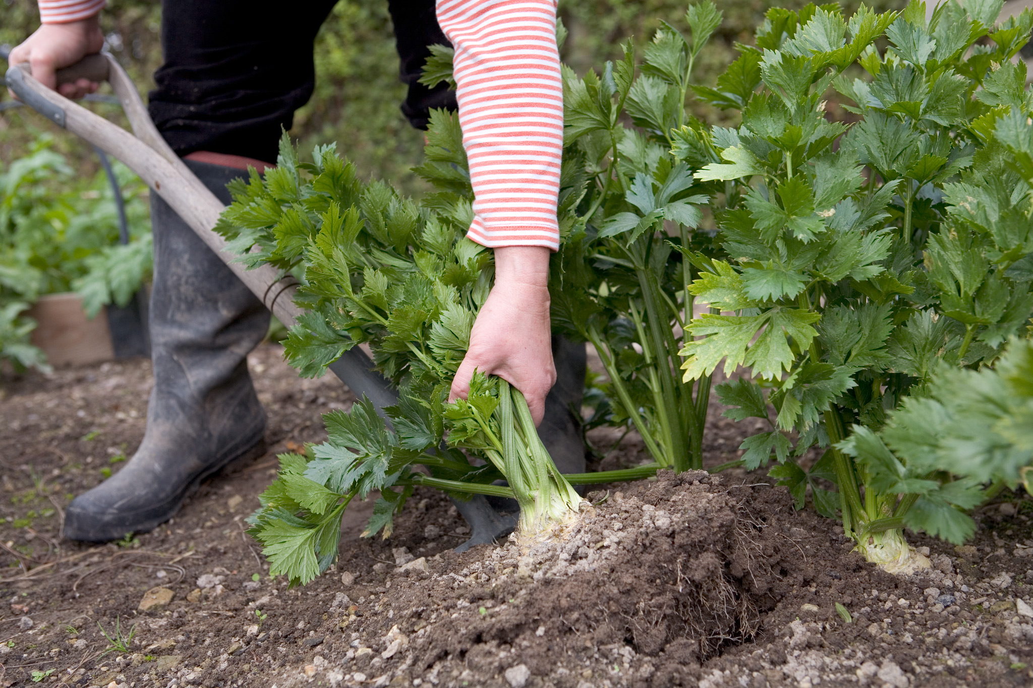 harvesting-celeriac-3