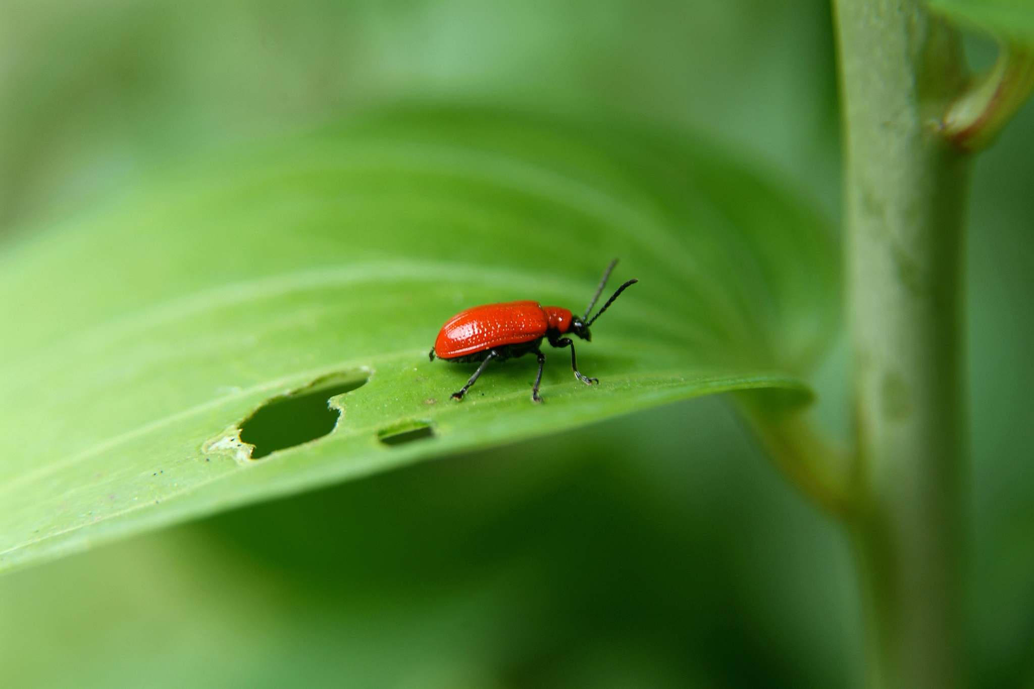 lily-beetle-3