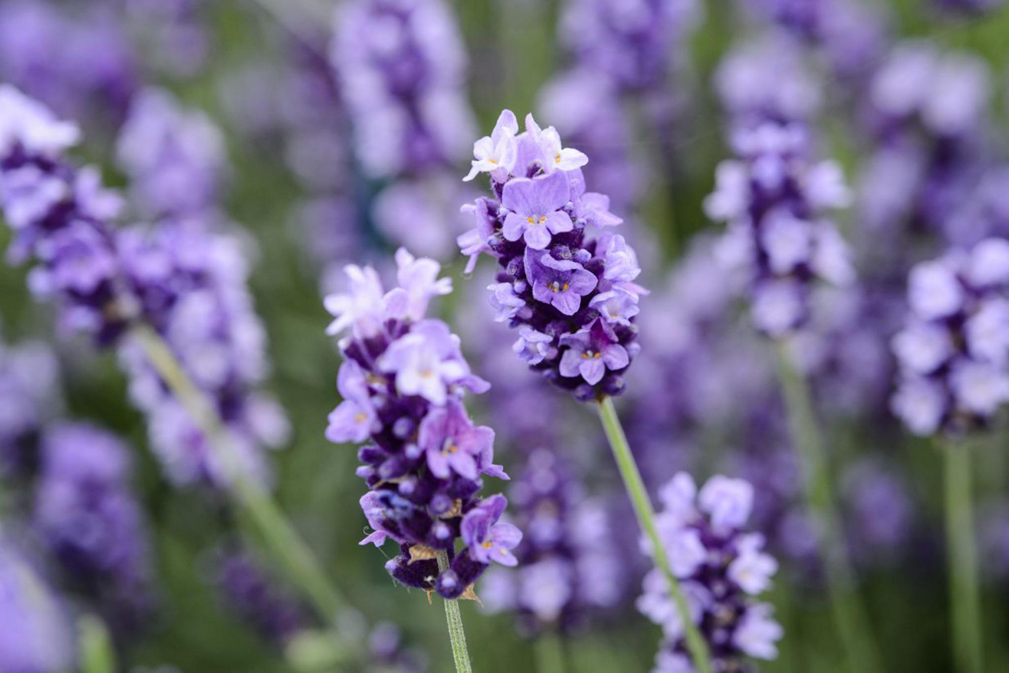 lavender-flowers-7