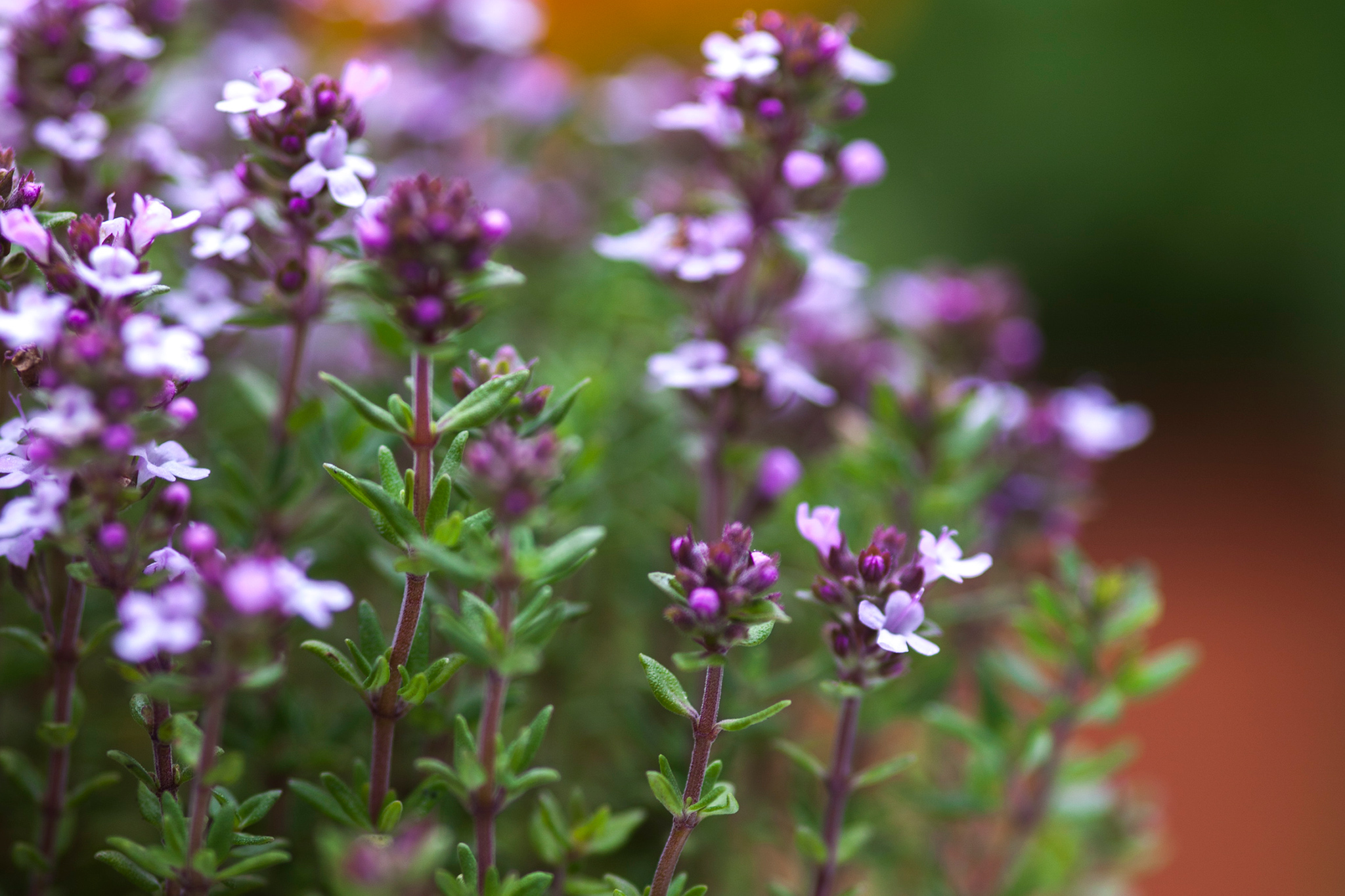 Six Essential Perennial Herbs Gardenersworld