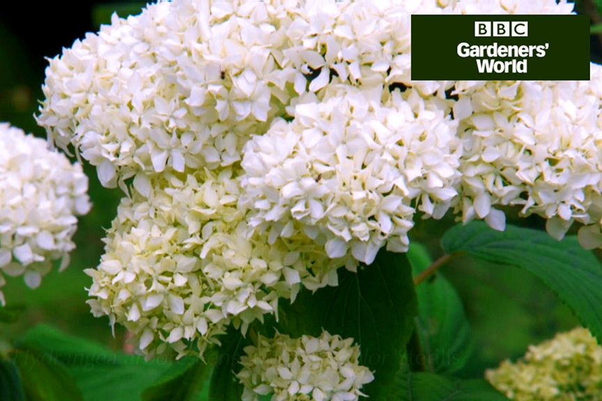 How to plant a hydrangea video