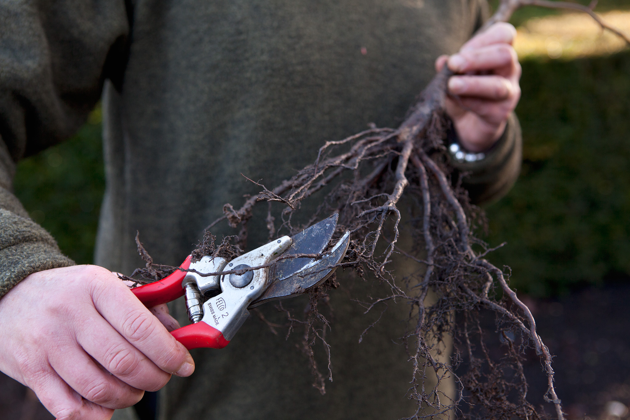 trimming-the-roots-on-a-bare-root-hedge-2