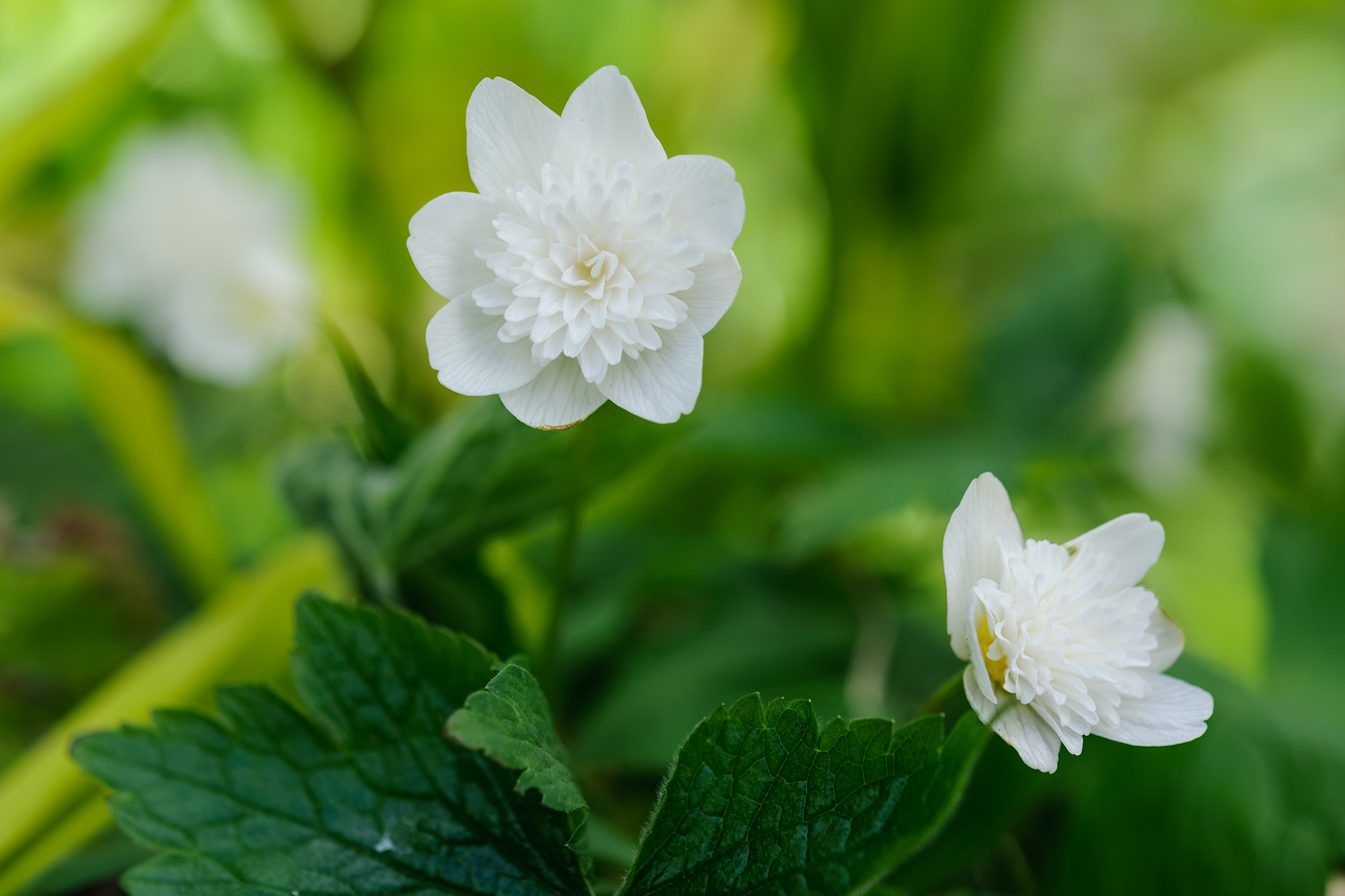 wood-anemone-anemone-nemorosa-vestal