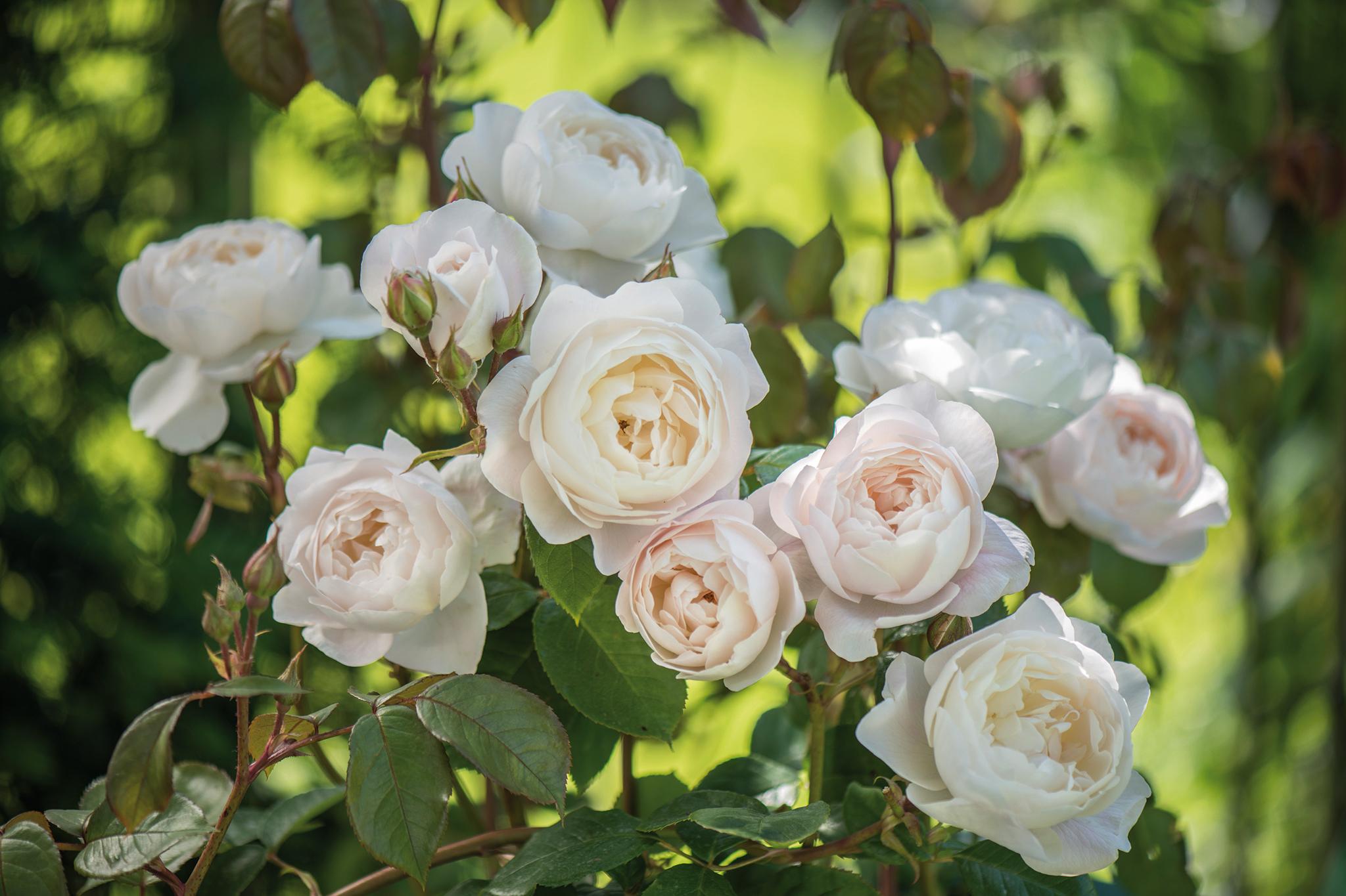 rosa-desdemona-2