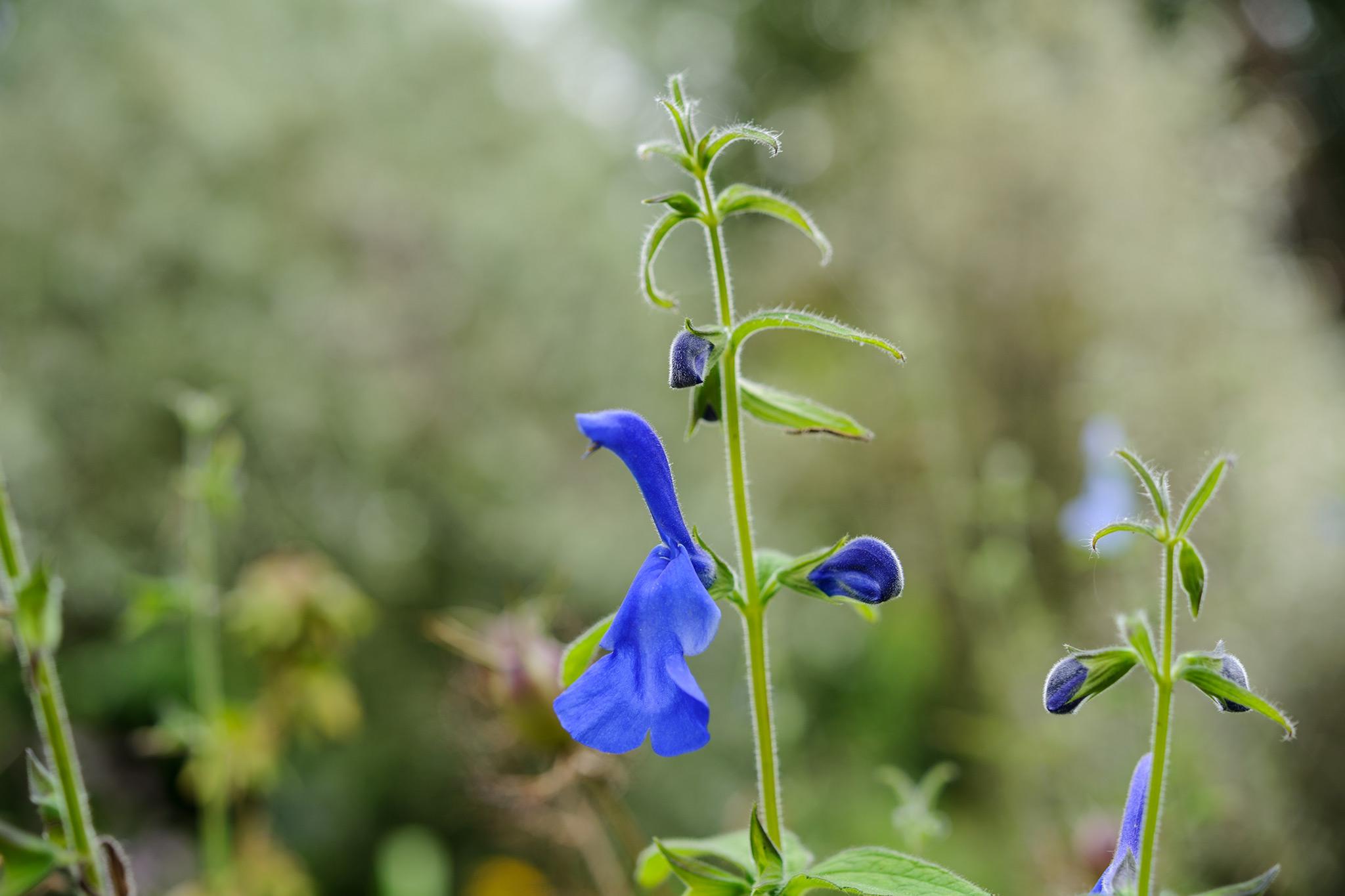 Blue Salvia patens
