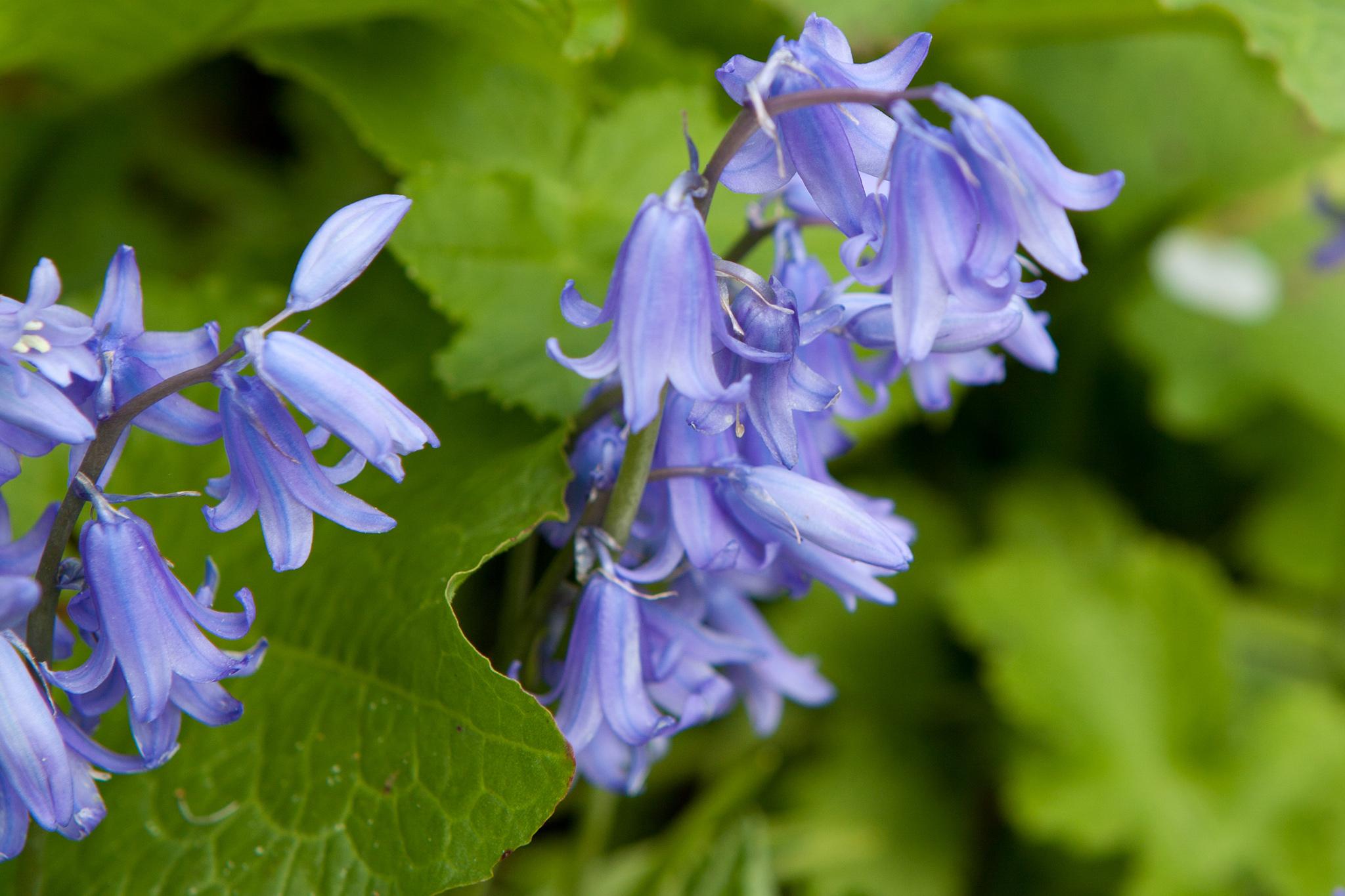 english-bluebells-hyacinthoides-non-scripta