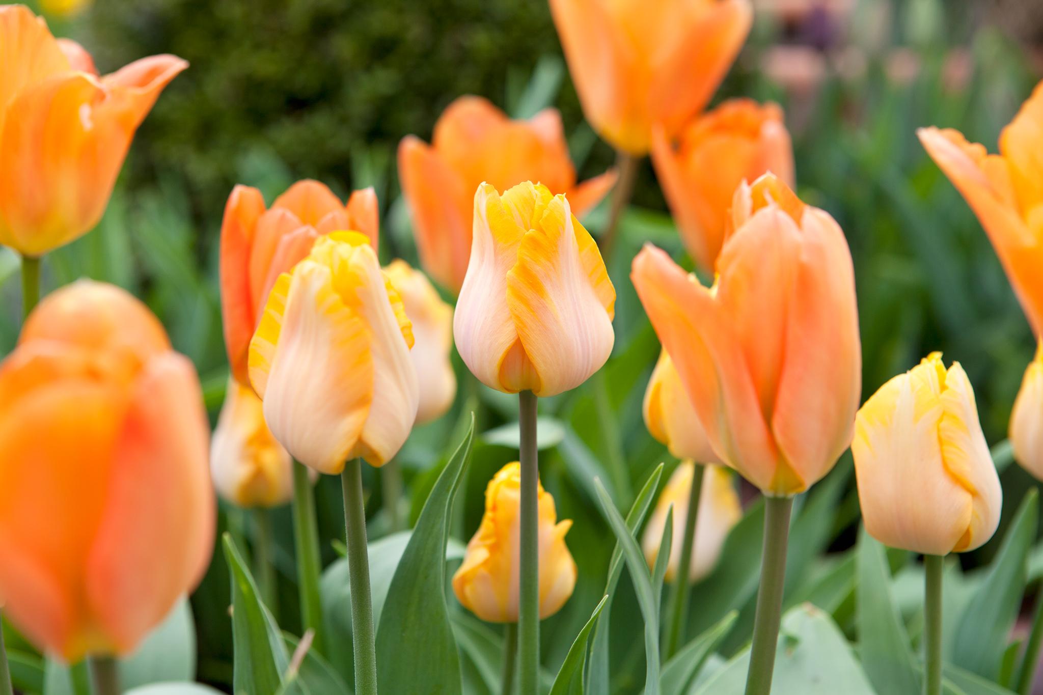 Tulip 'Bestseller'