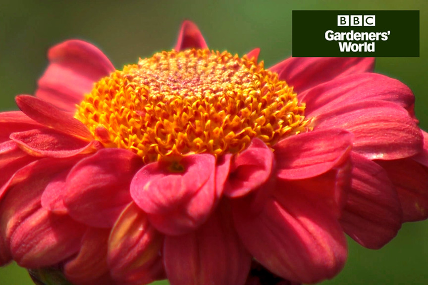 How to plant chrysanthemums in a border video
