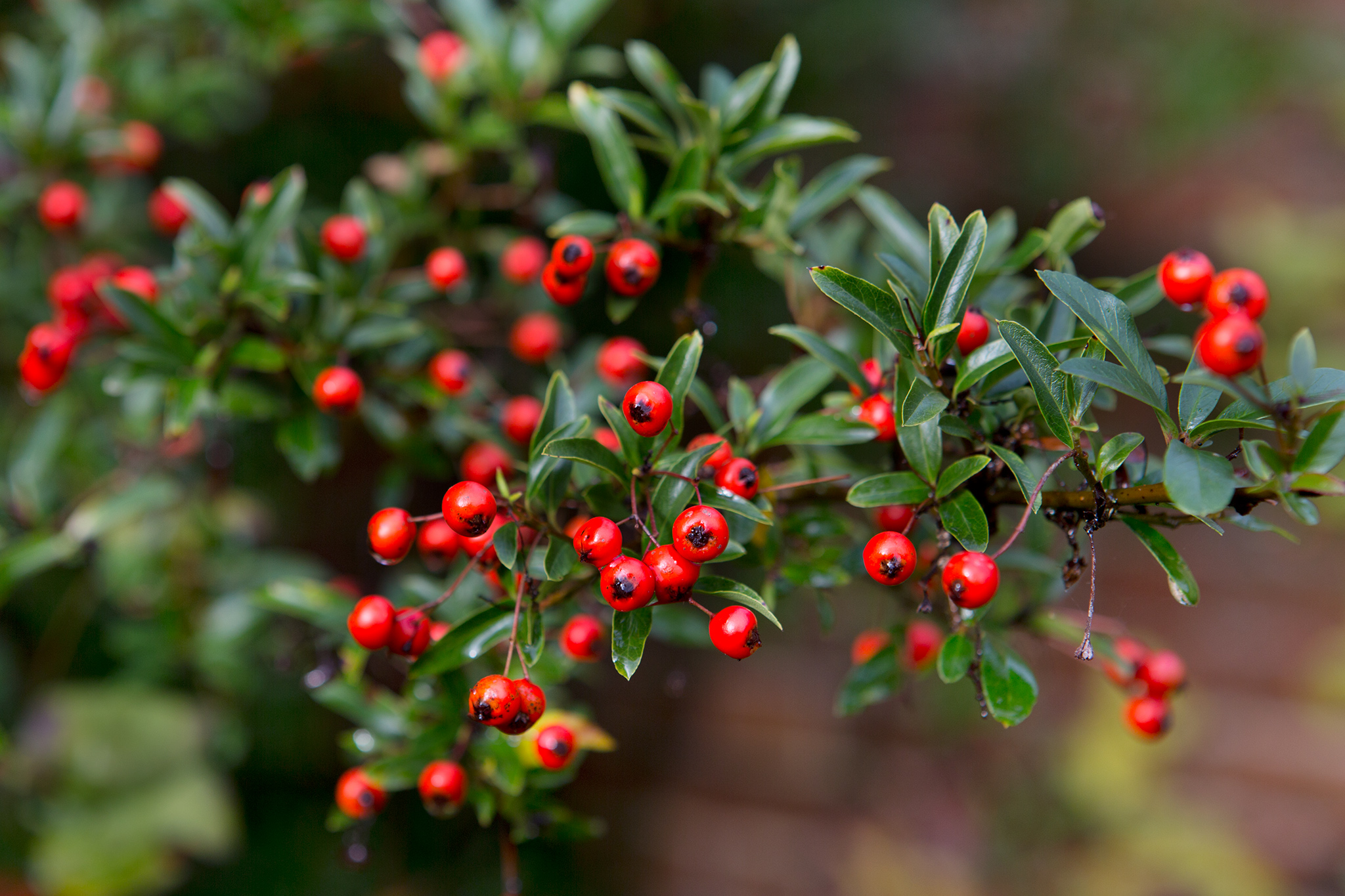 Best Hedging Plants For Shade Gardenersworld