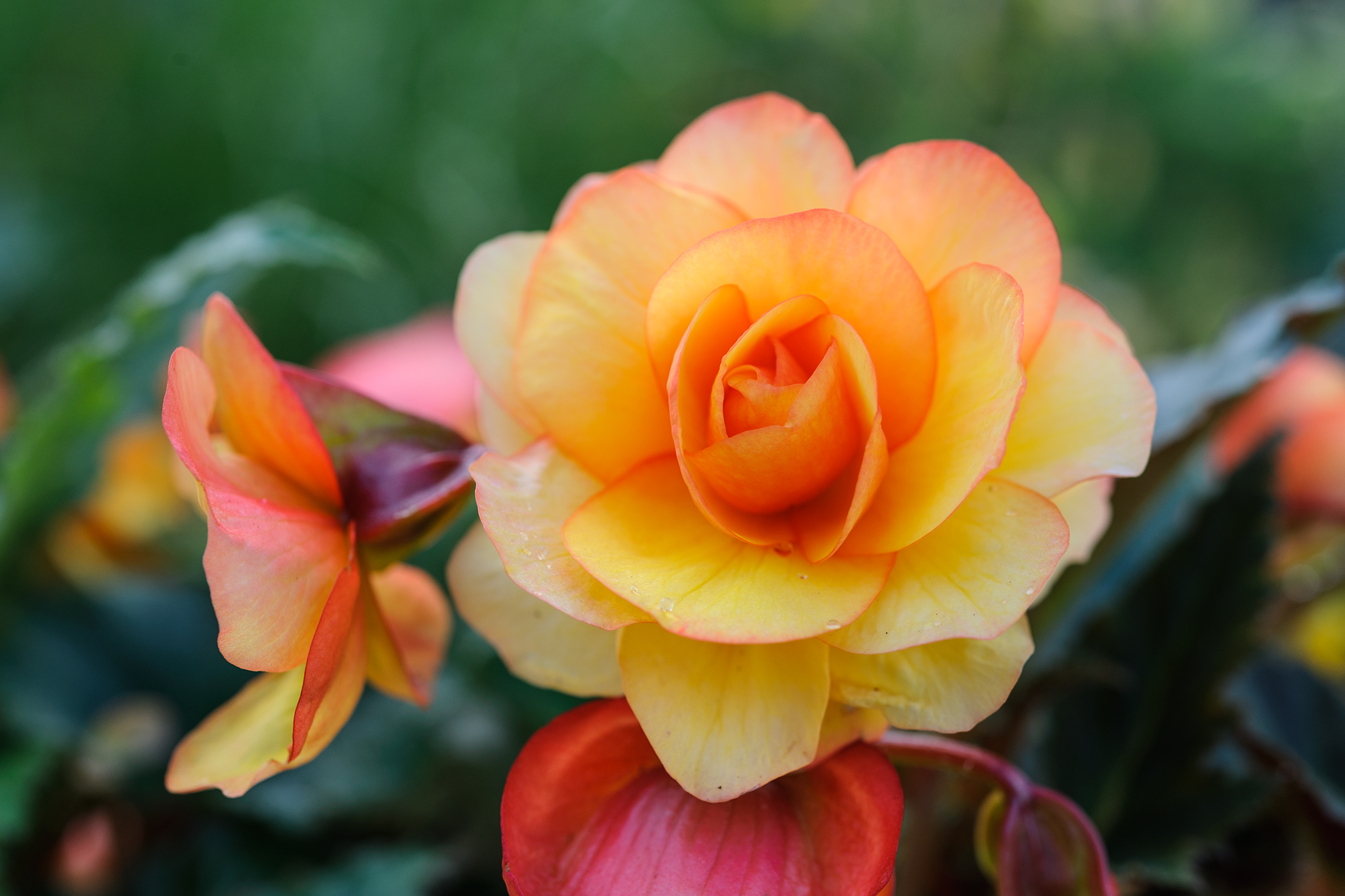 orange-begonias-3