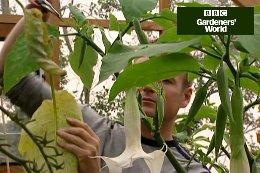How to overwinter and propagate brugmansia video