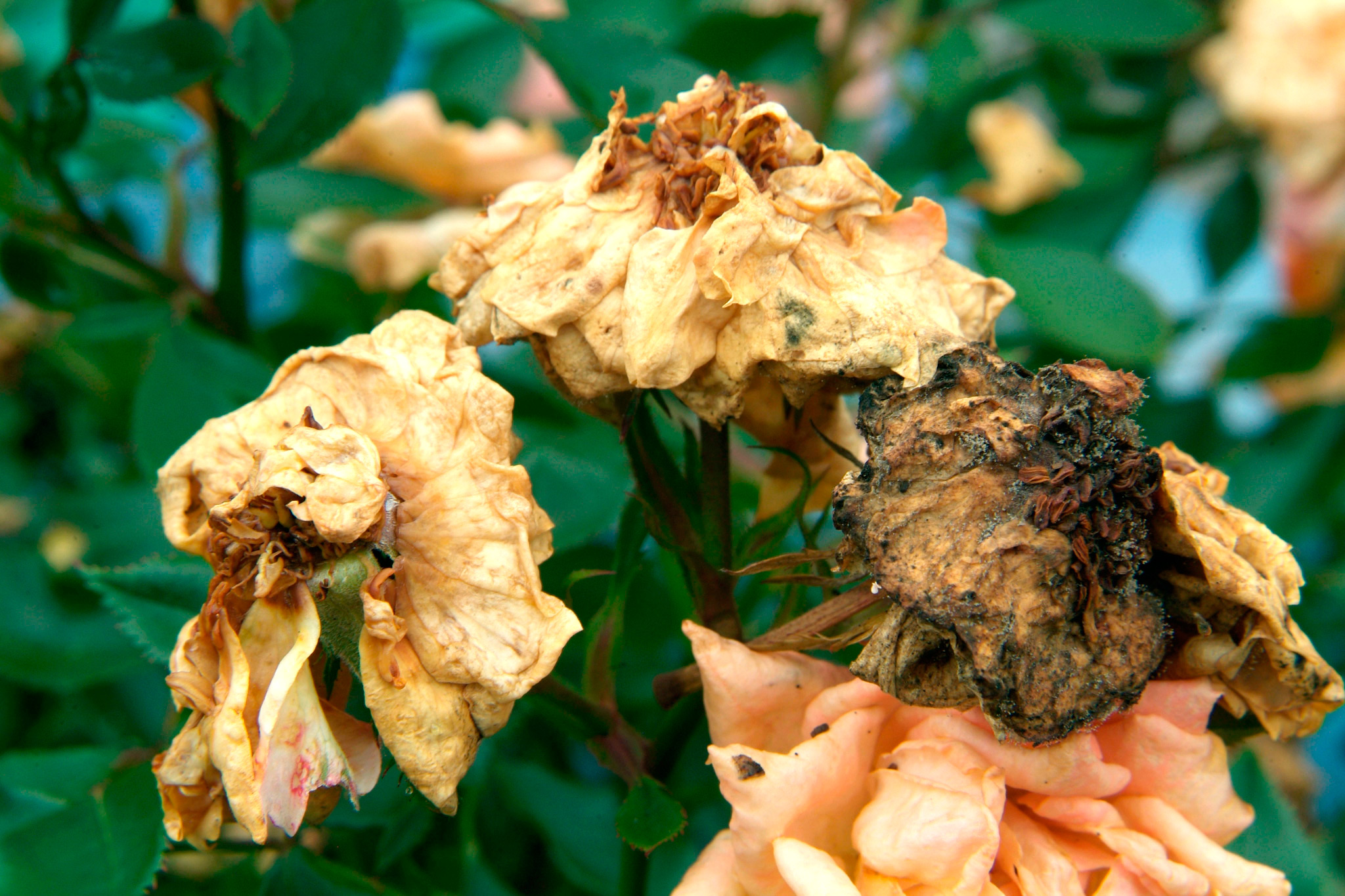 faded-rose-flowers-2