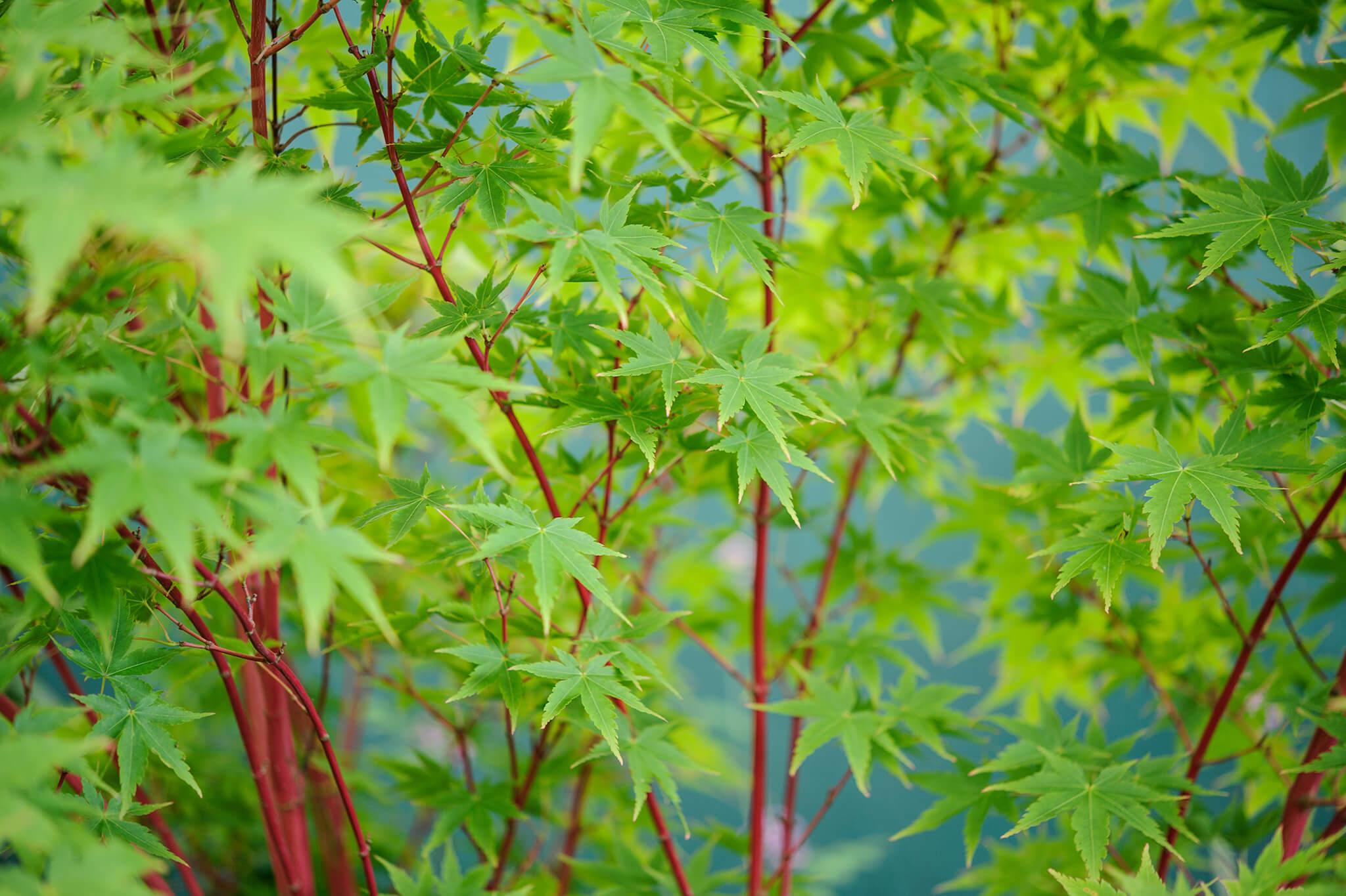 Acer Palmatum Sango Kaku 2