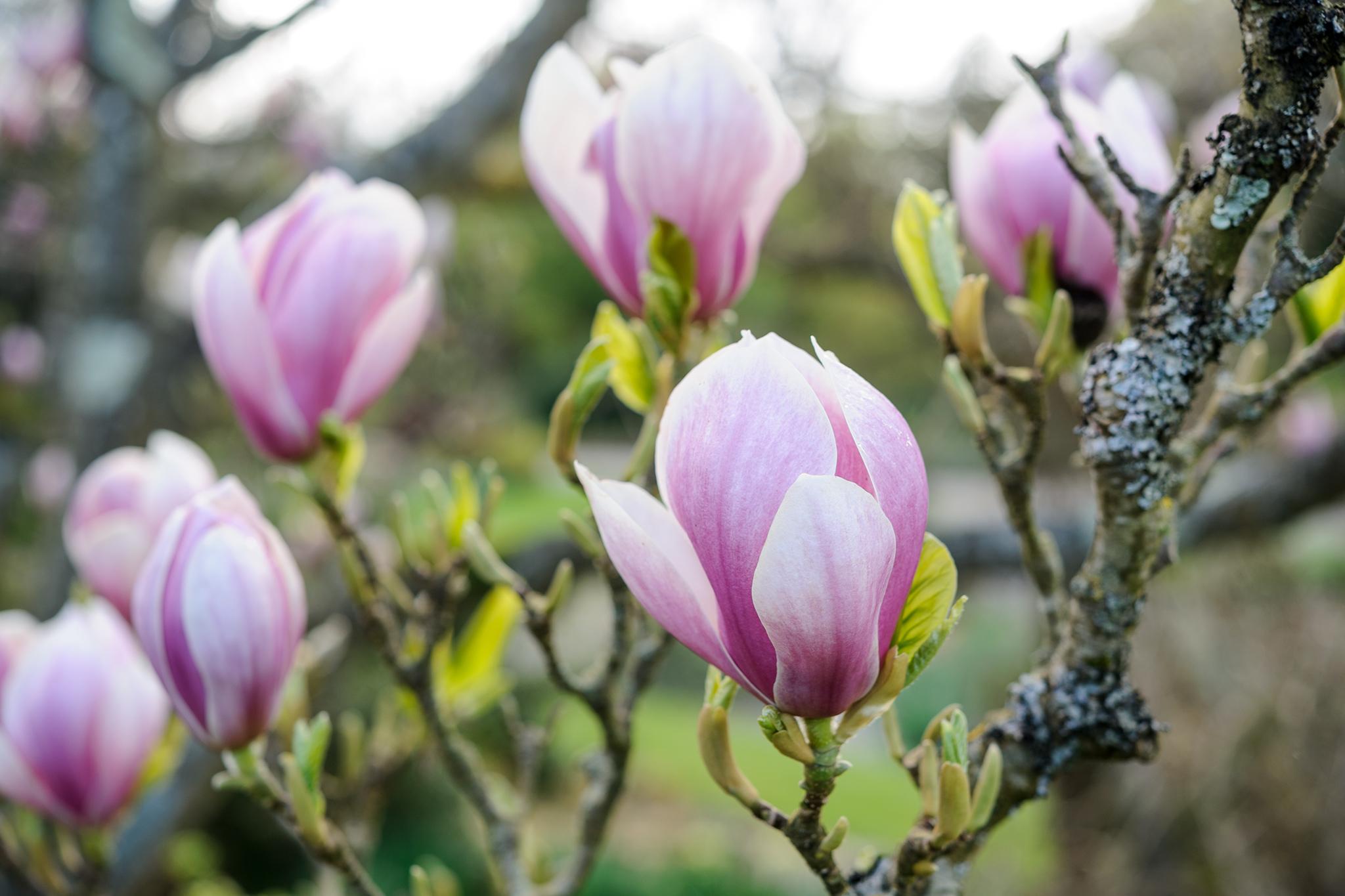 magnolia-x-soulangeana-alexandrina-4