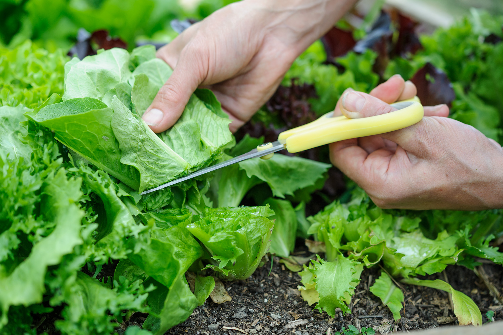 harvesting-salad-leaves-3