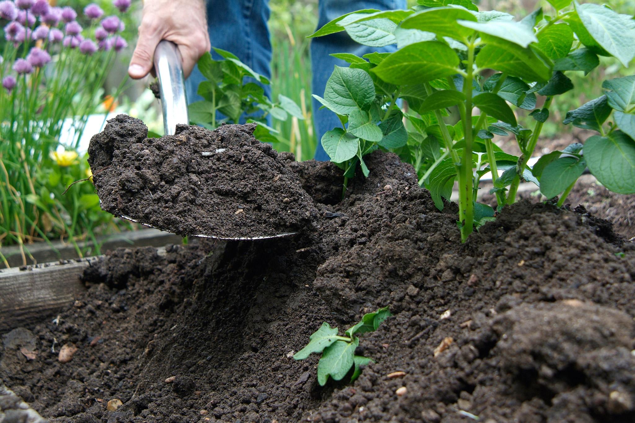 earthing-up-potatoes-6
