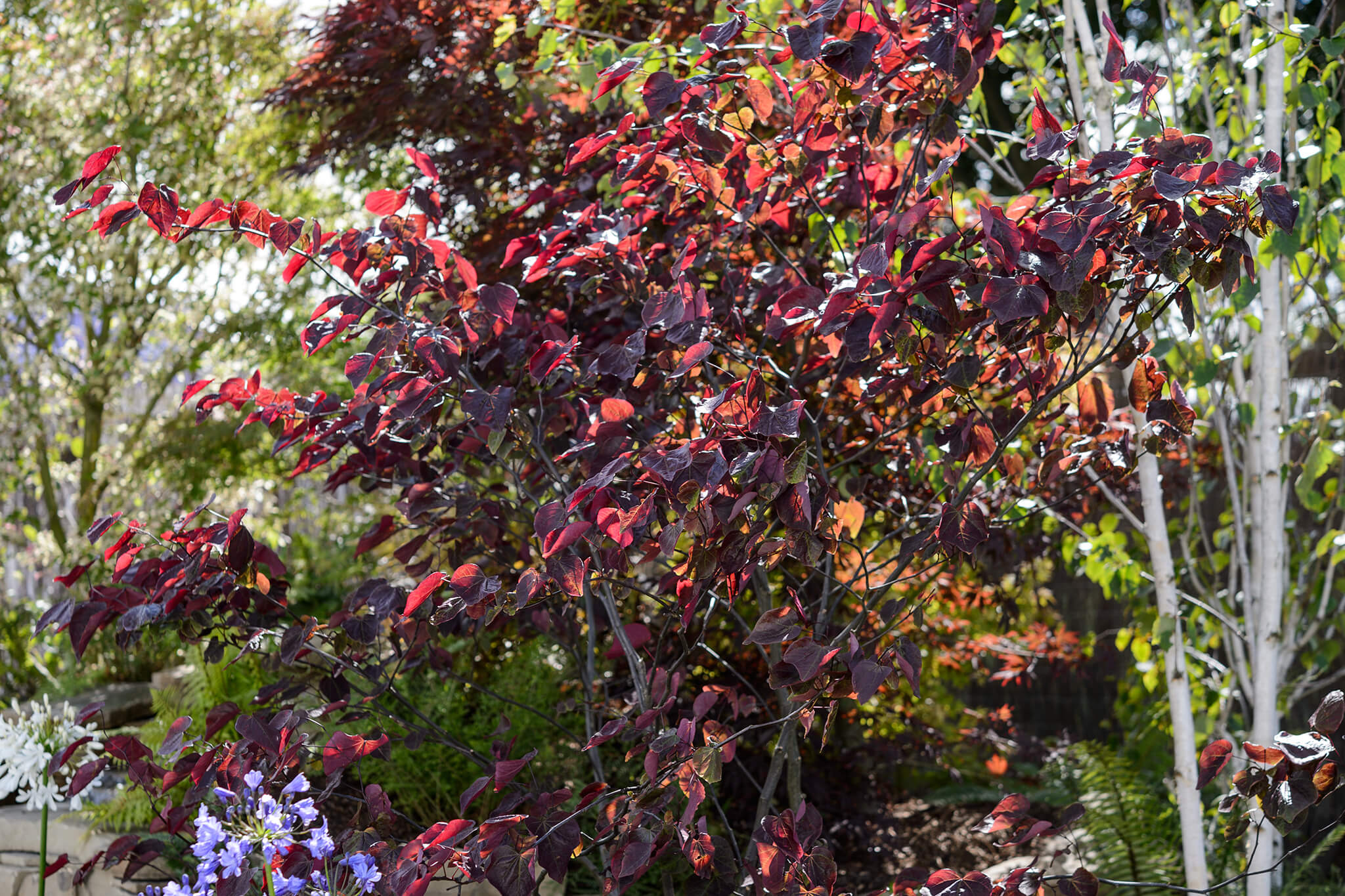 cercis-canadensis-forest-pansy-12
