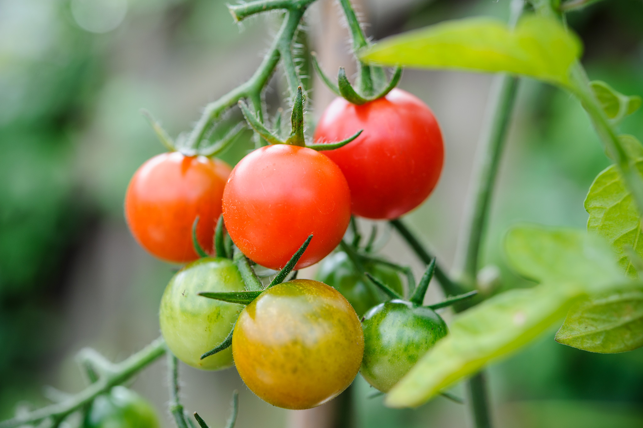 tomatoes-ripening-on-the-vine-2